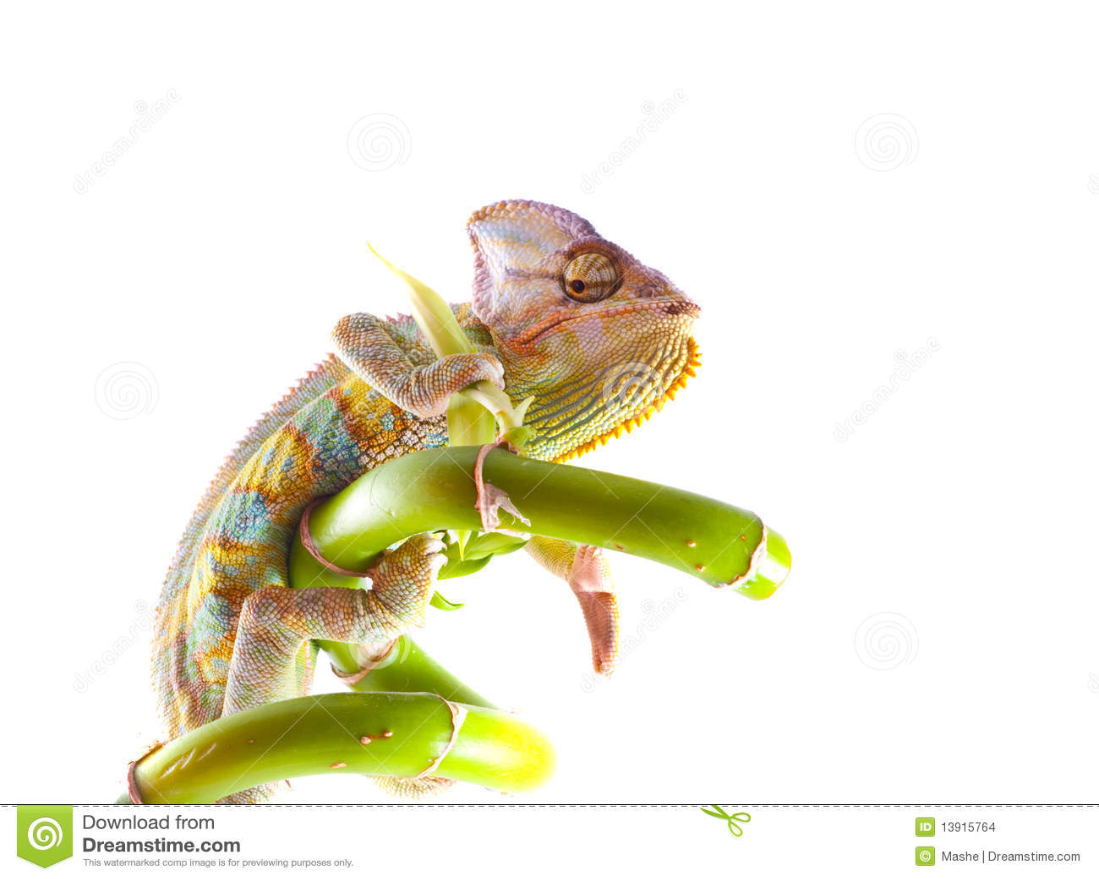 Chameleon sul gambo.