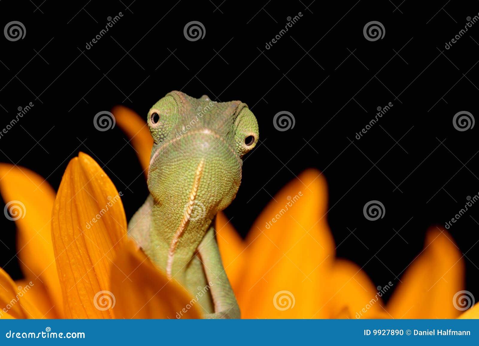 Chameleon and sunflower