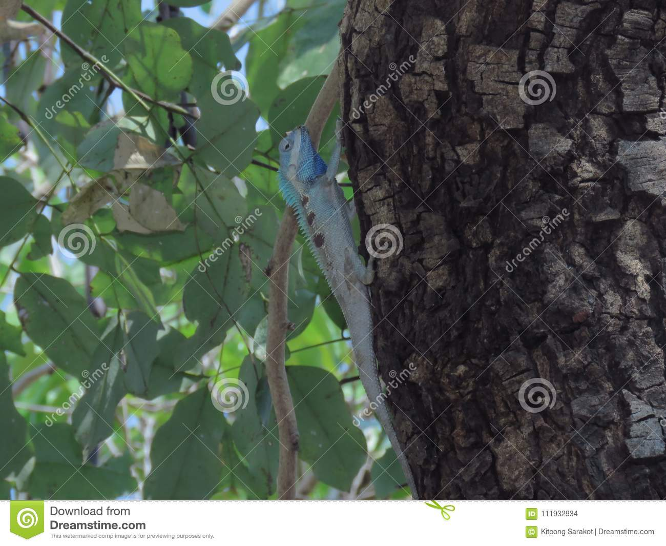 Chameleon On Tree In Thailand Garden Stock Photo - Image of forest ...