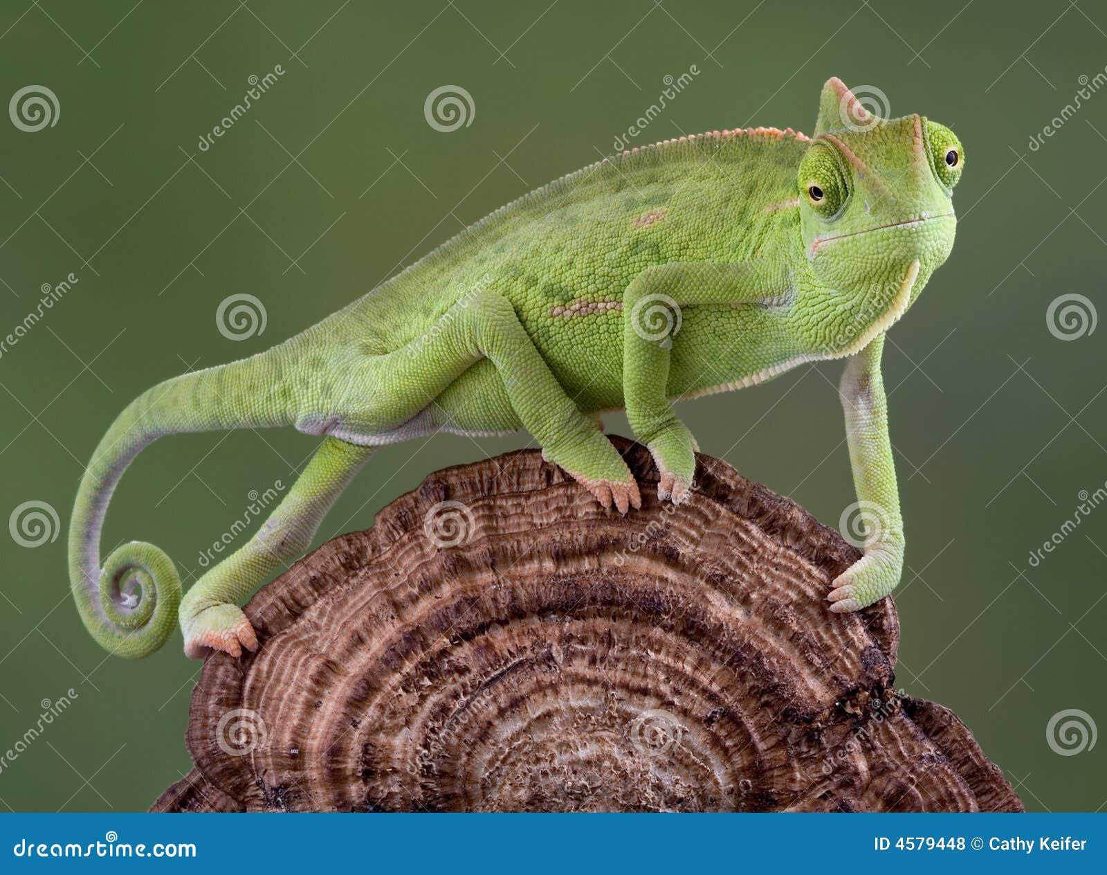 Chameleon walking