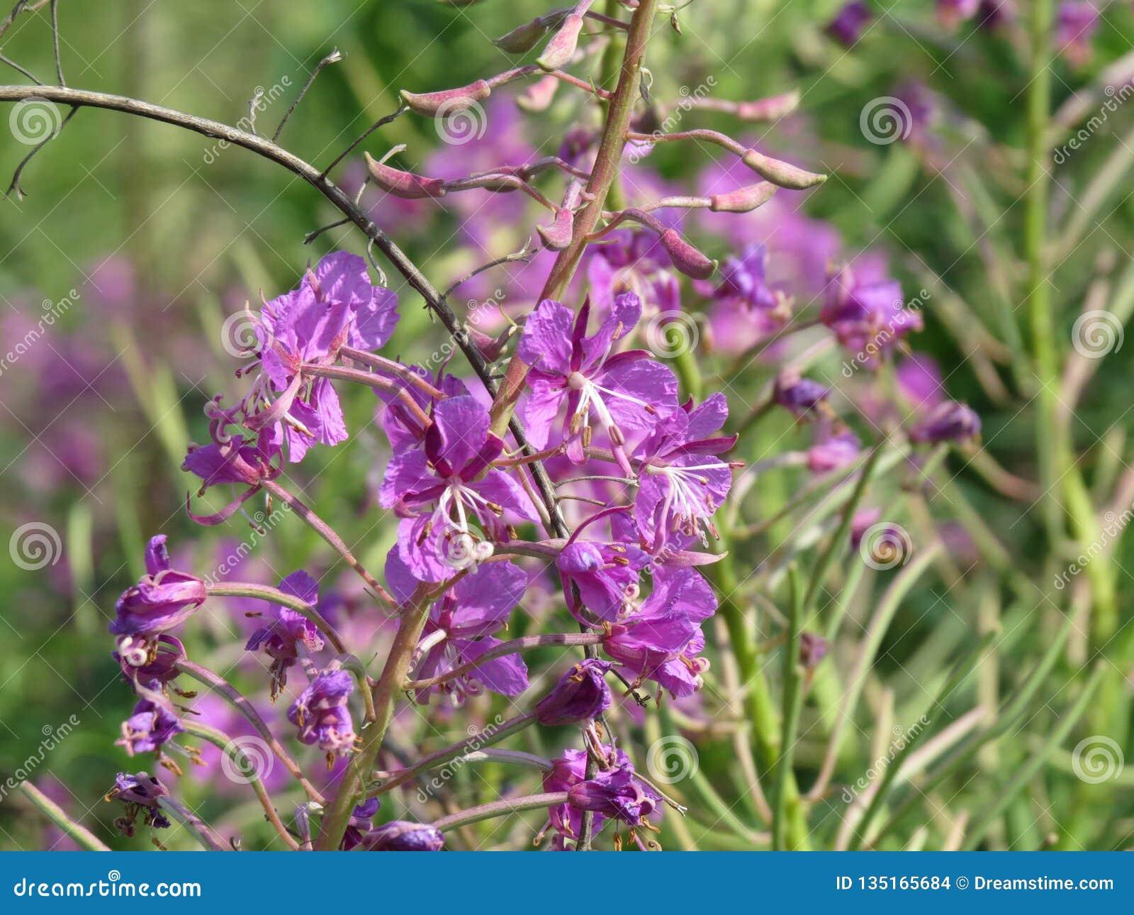Chamerion för oleanderWillowherb angustifolium, också Epilobiumangustifolium Mjölkörten lämnar från denna växt kan genomgå