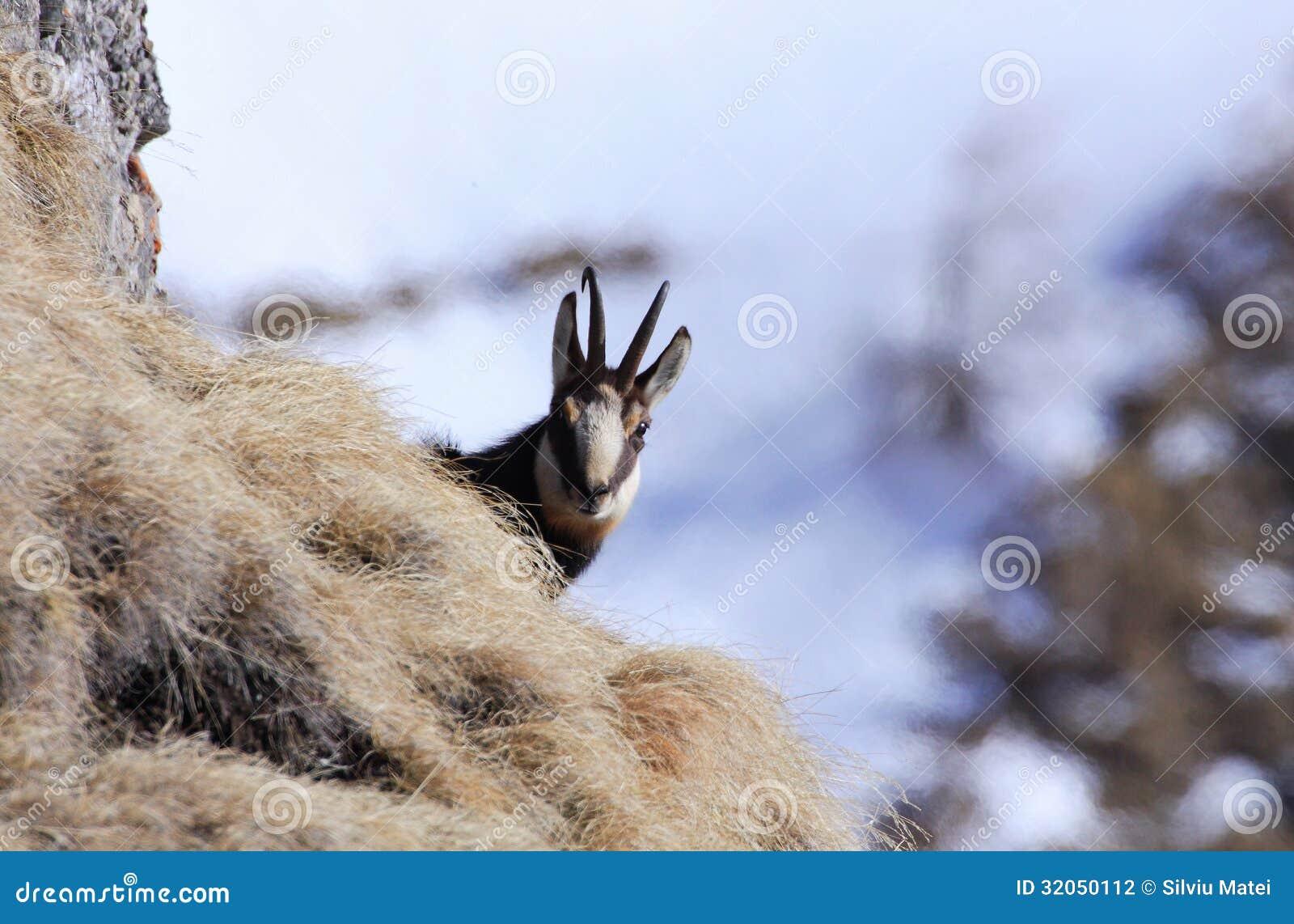 Chamois carpathien en montagnes de Bucegi