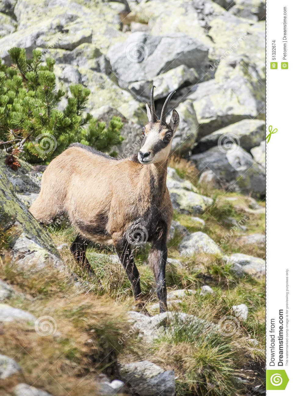 Chamois in the national park