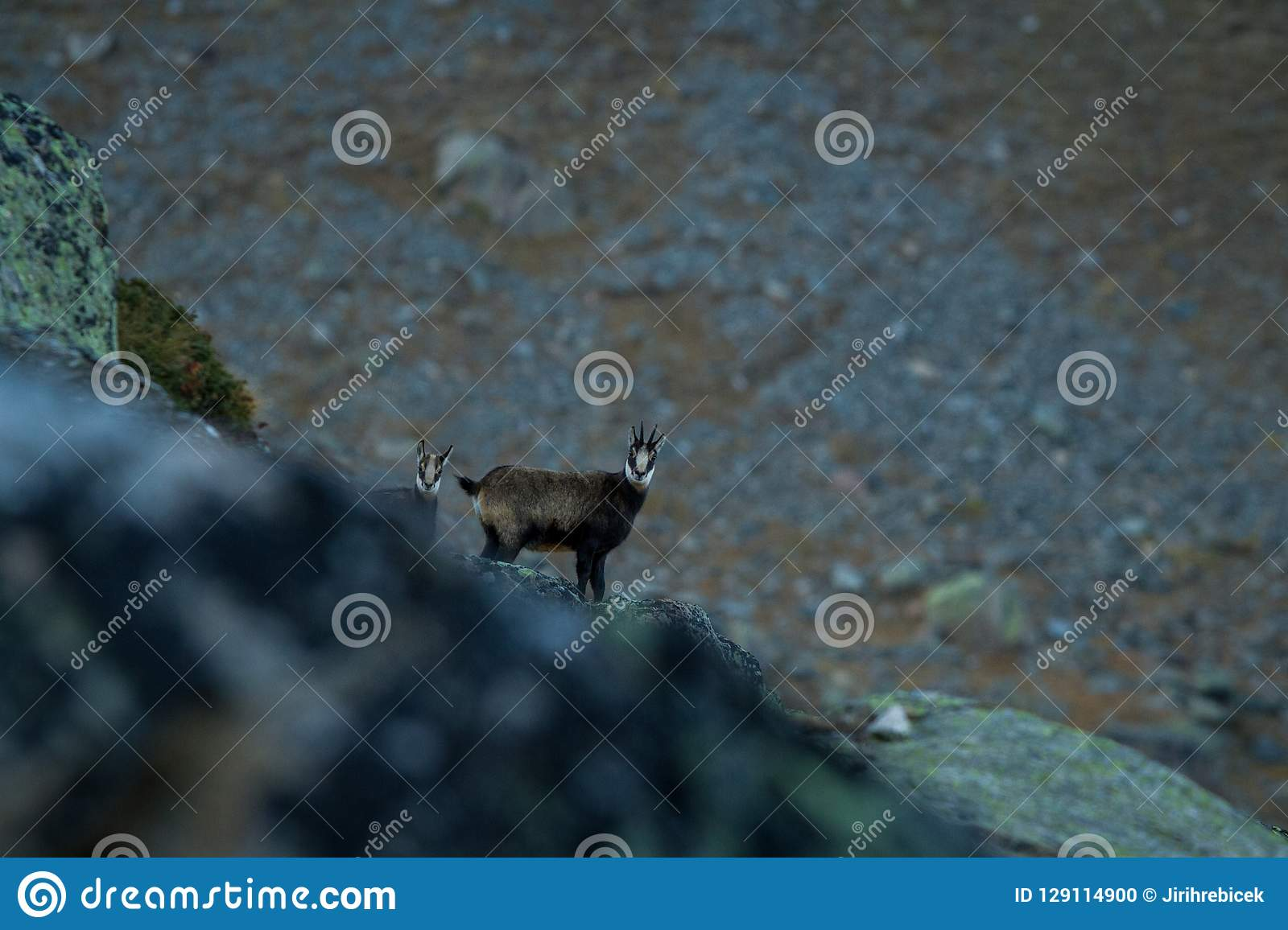 Chamois, Rupicapra rupicapra, on the rocky hill with montain in background, mountain in Gran Paradiso,Autumn in mountains