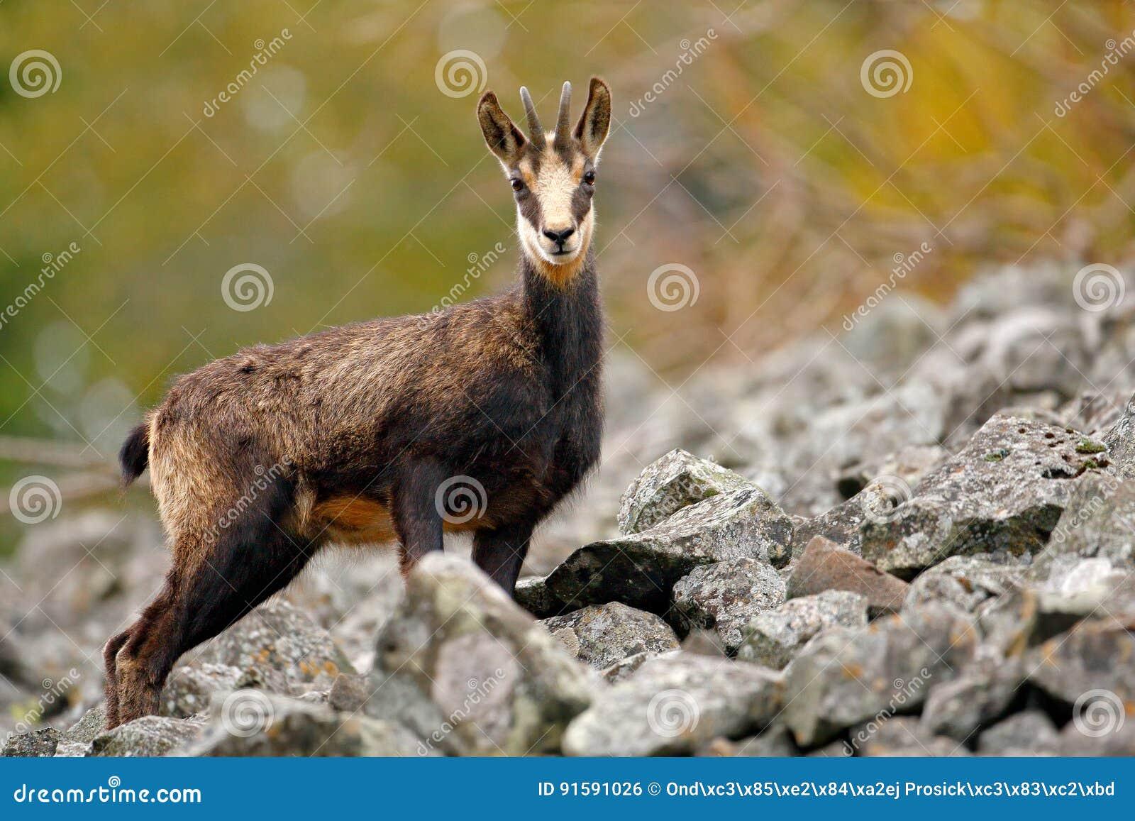 Chamois, Rupicapra rupicapra, in the green grass, grey rock in background, Gran Paradiso, Italy. Animal in the Alp. Wildlife scene