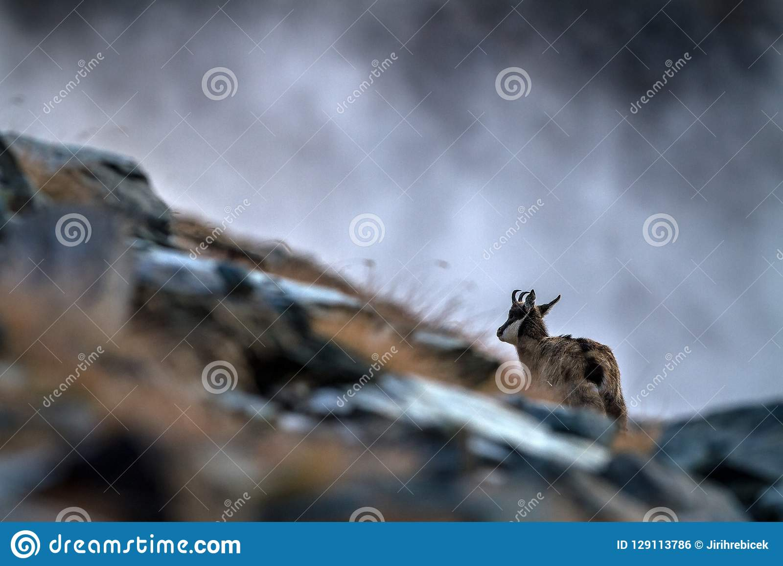 Chamois, Rupicapra rupicapra, on the rocky hill during misty morning, mountain in Gran Paradiso, Italy. Autumn in the mountains
