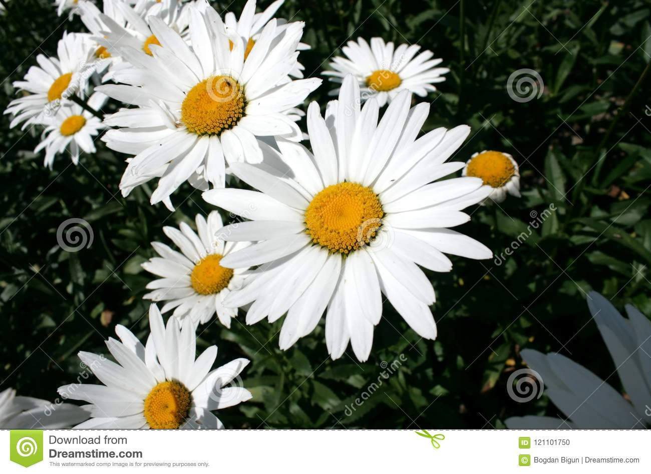 Chamomile In The Garden Stock Photo Image Of Such Beautiful