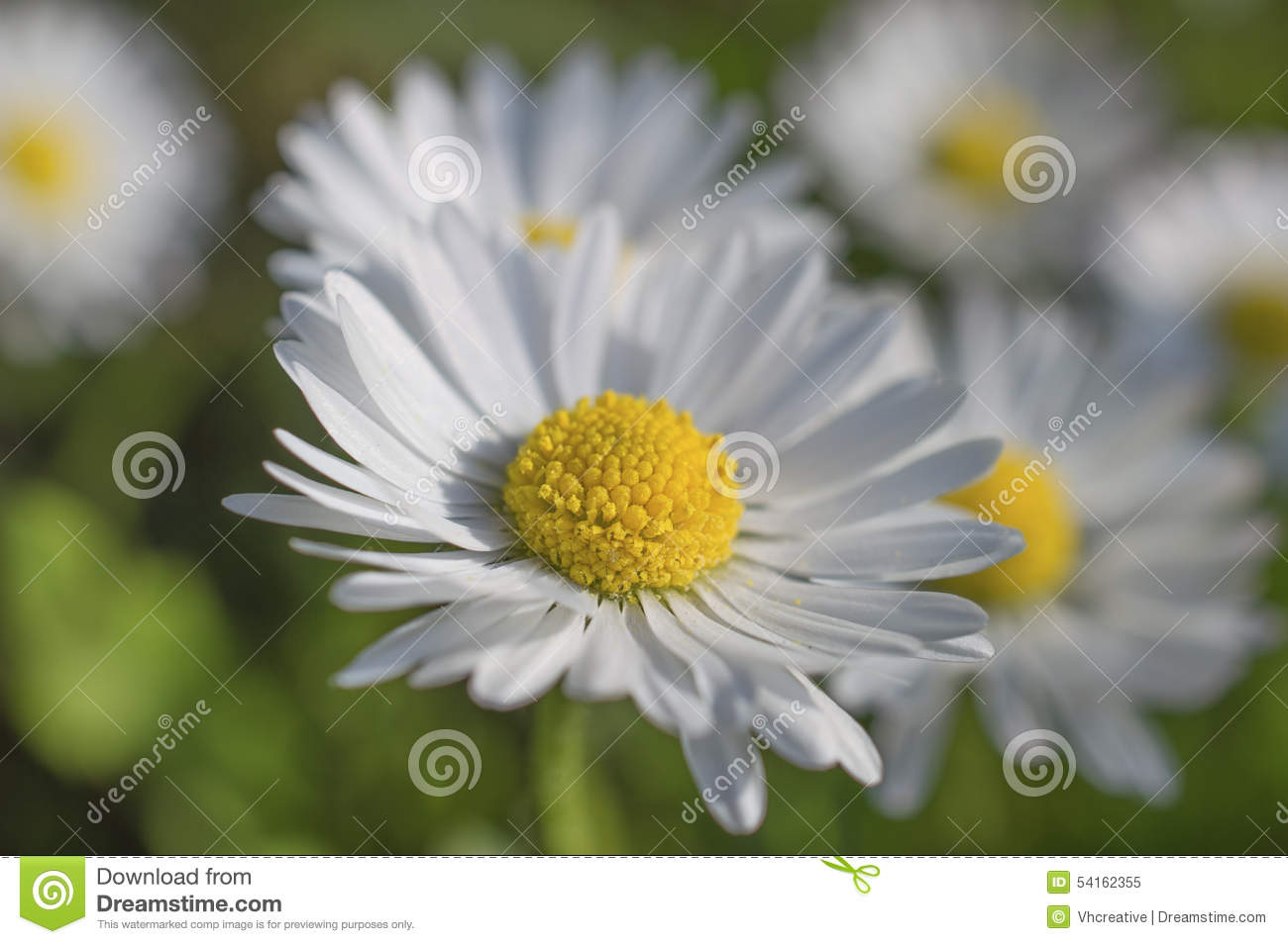 Chamomile Daisy White Flowers Stock Image Image Of Petals Bloom