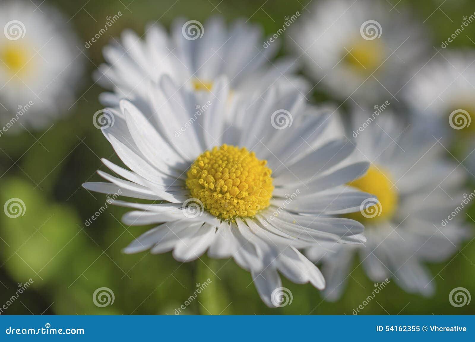 Chamomile daisy white flowers stock image image of petals bloom chamomile daisy white flowers izmirmasajfo