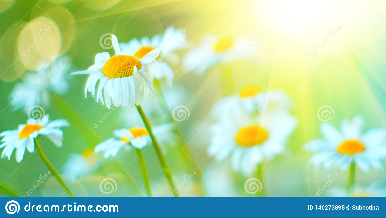 Chamomile field flowers border. Beautiful nature scene with blooming chamomiles in sun flares