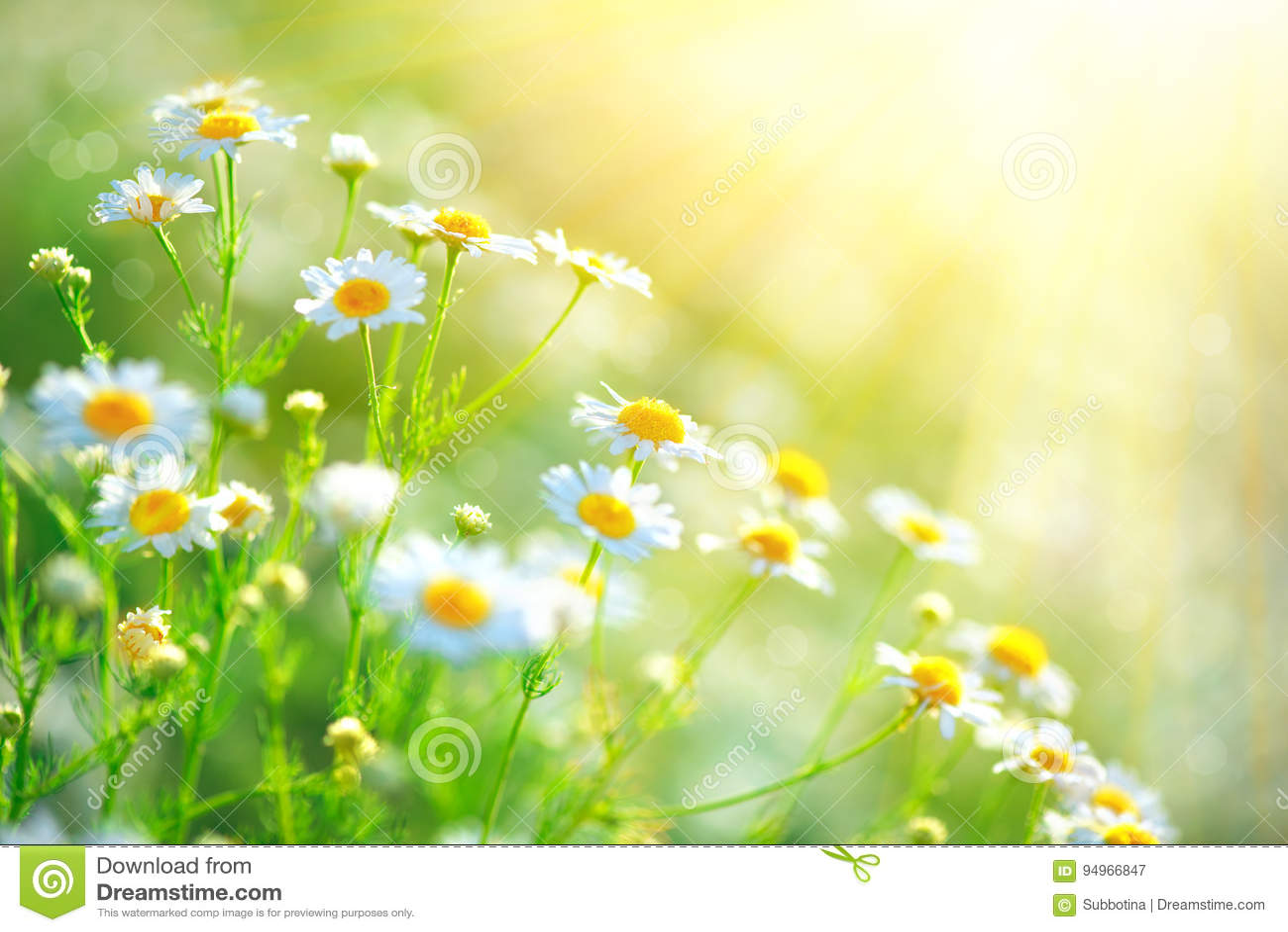 Chamomile field flowers border. Beautiful nature scene