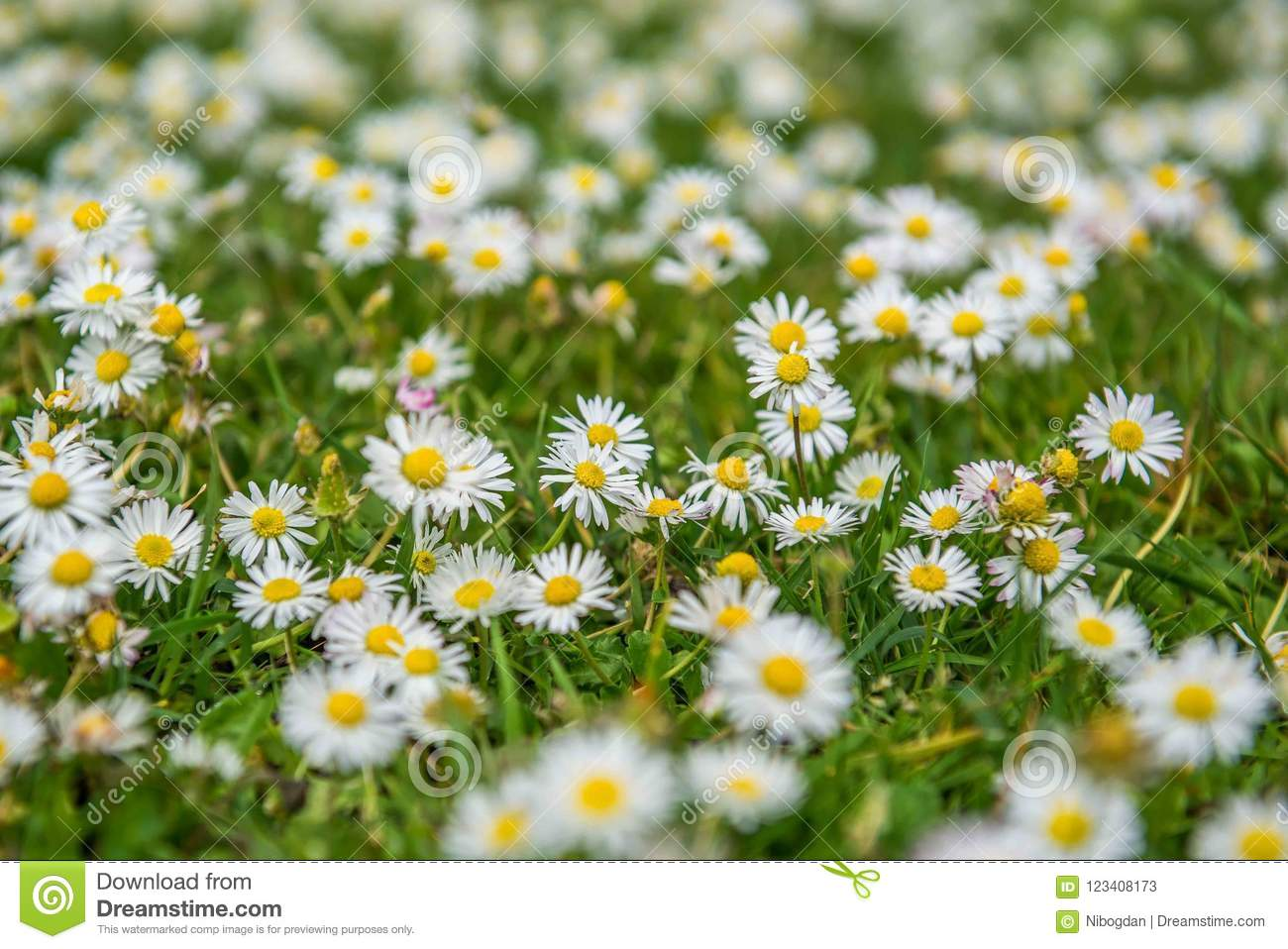Chamomile field flowers during summer