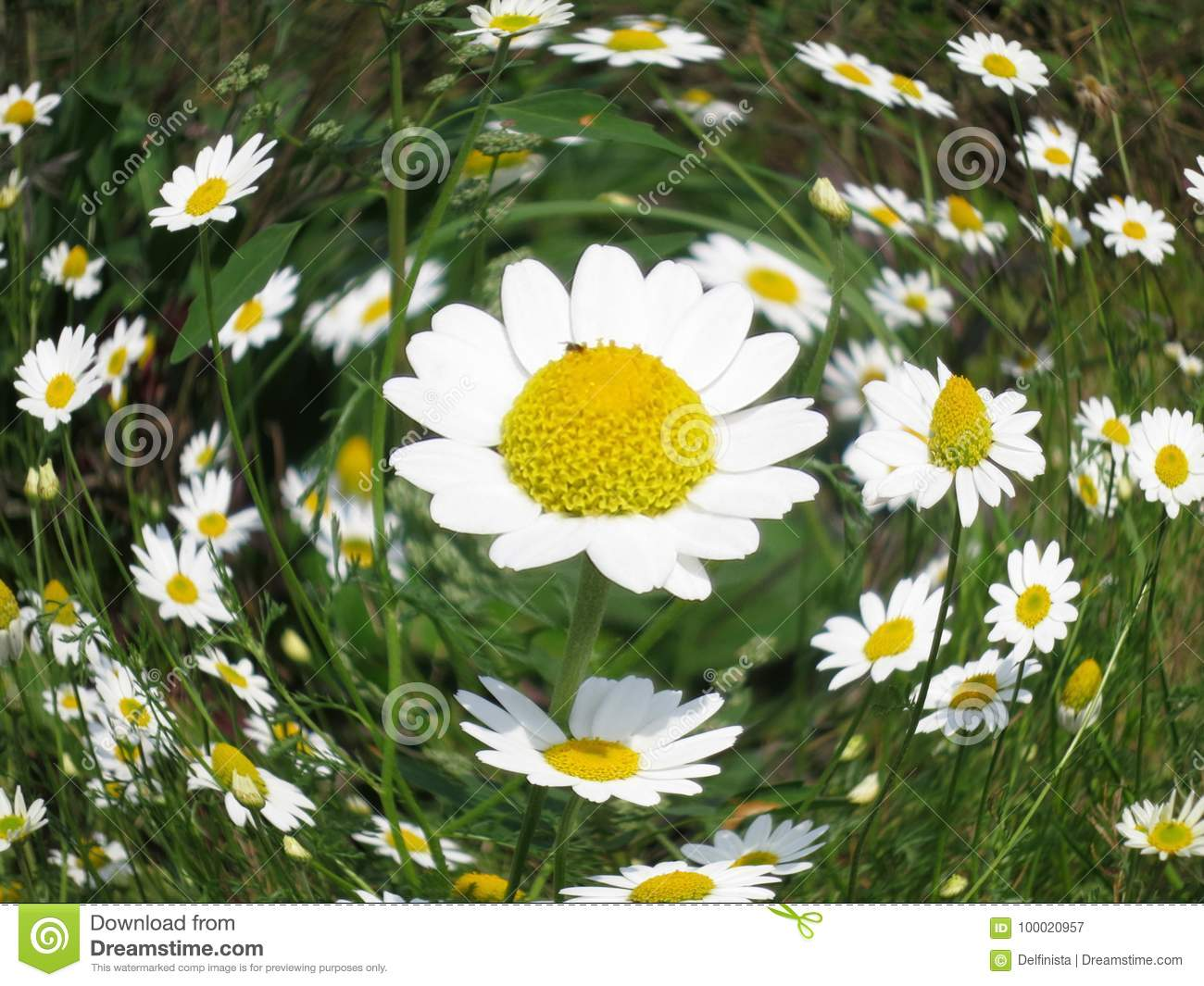 Chamomile Flower Daisy Floral Background Stock Image Image Of
