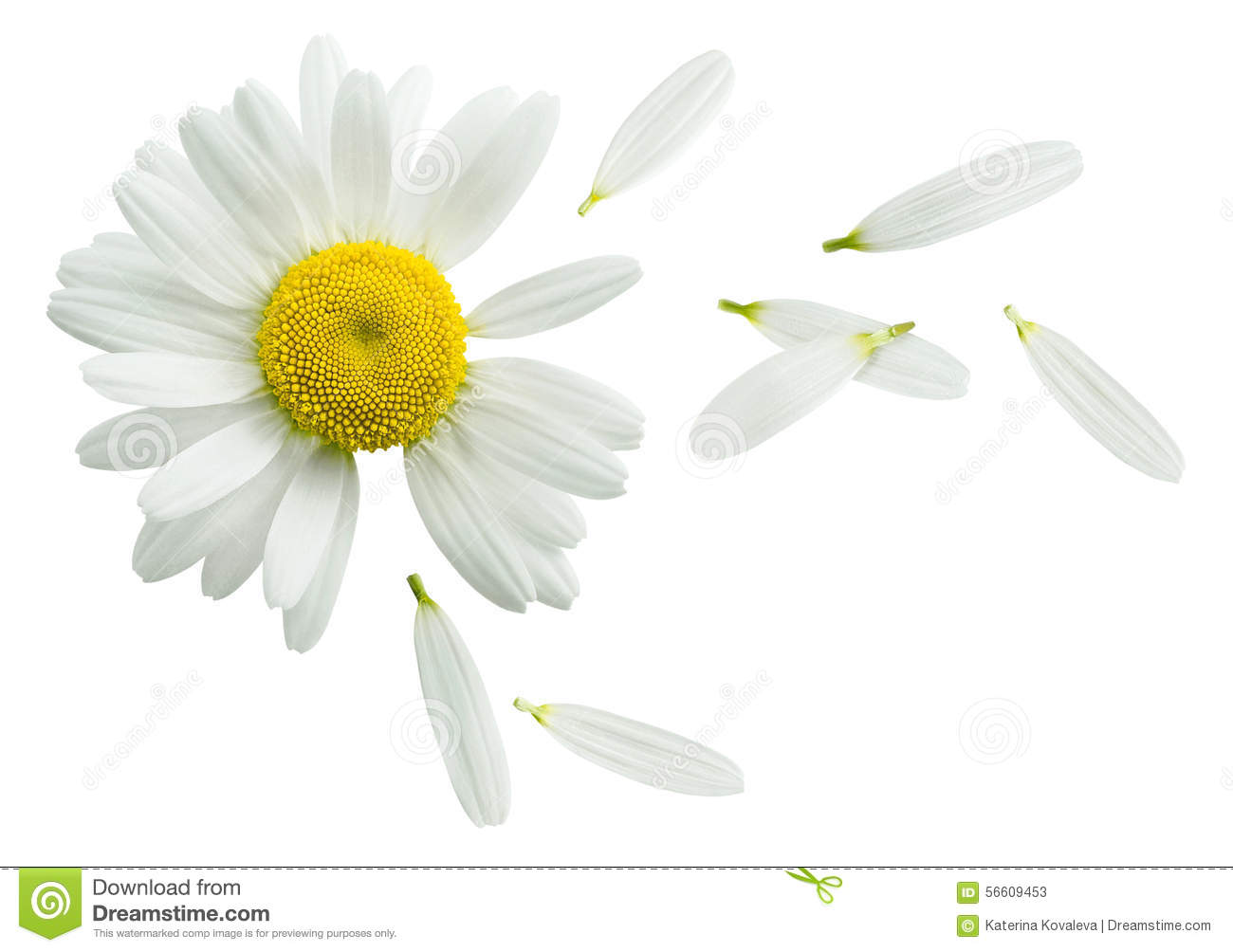 Chamomile Flower Mint Leaves Composition Isolated On White Royalty