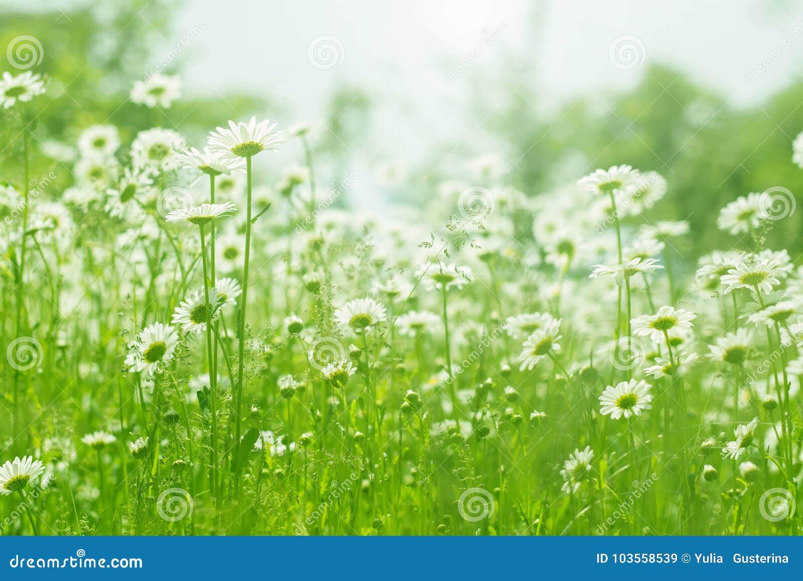 Chamomile Flowers Field Sunlight Summer Daisies Beautiful Scene Of