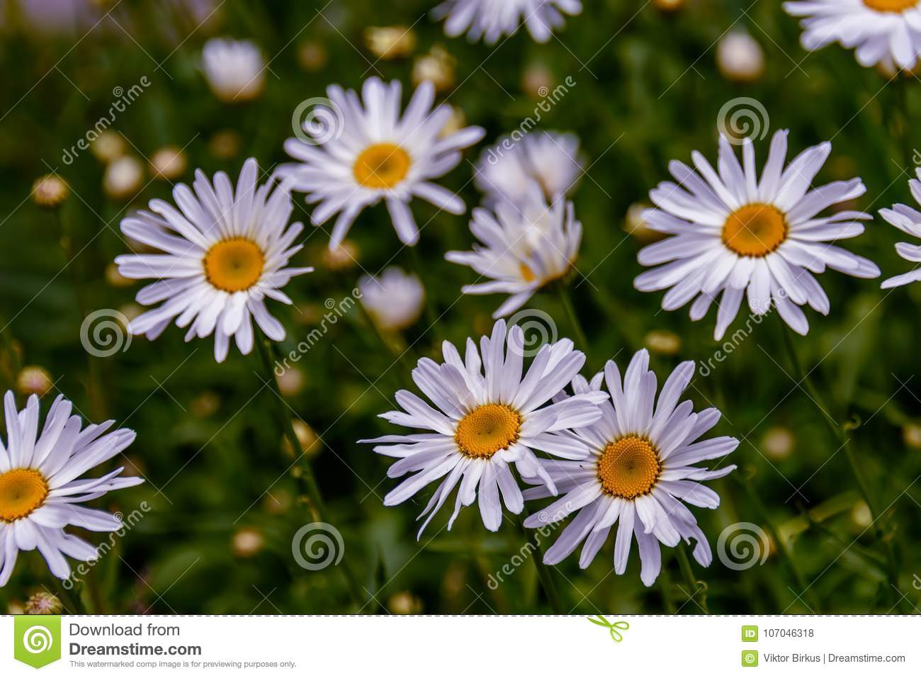 Chamomile Flowers With Long White Petals And A Yellow Center In