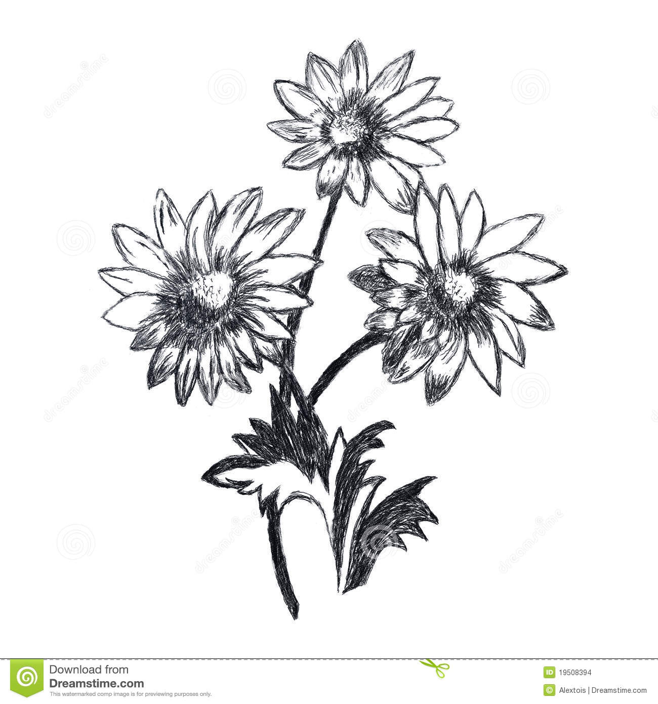 Chamomile Flowers Sketch Stock Images Image 19508394