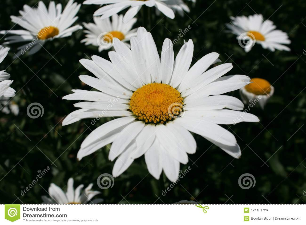 Chamomile In The Garden Stock Photo Image Of Could 121101726