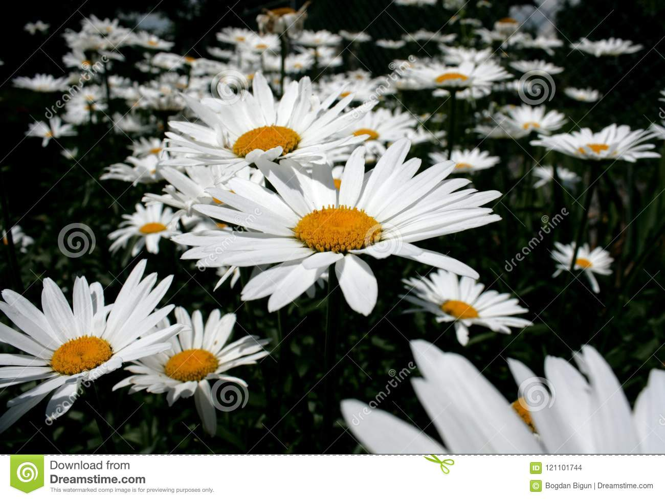 Chamomile In The Garden Stock Photo Image Of Business 121101744
