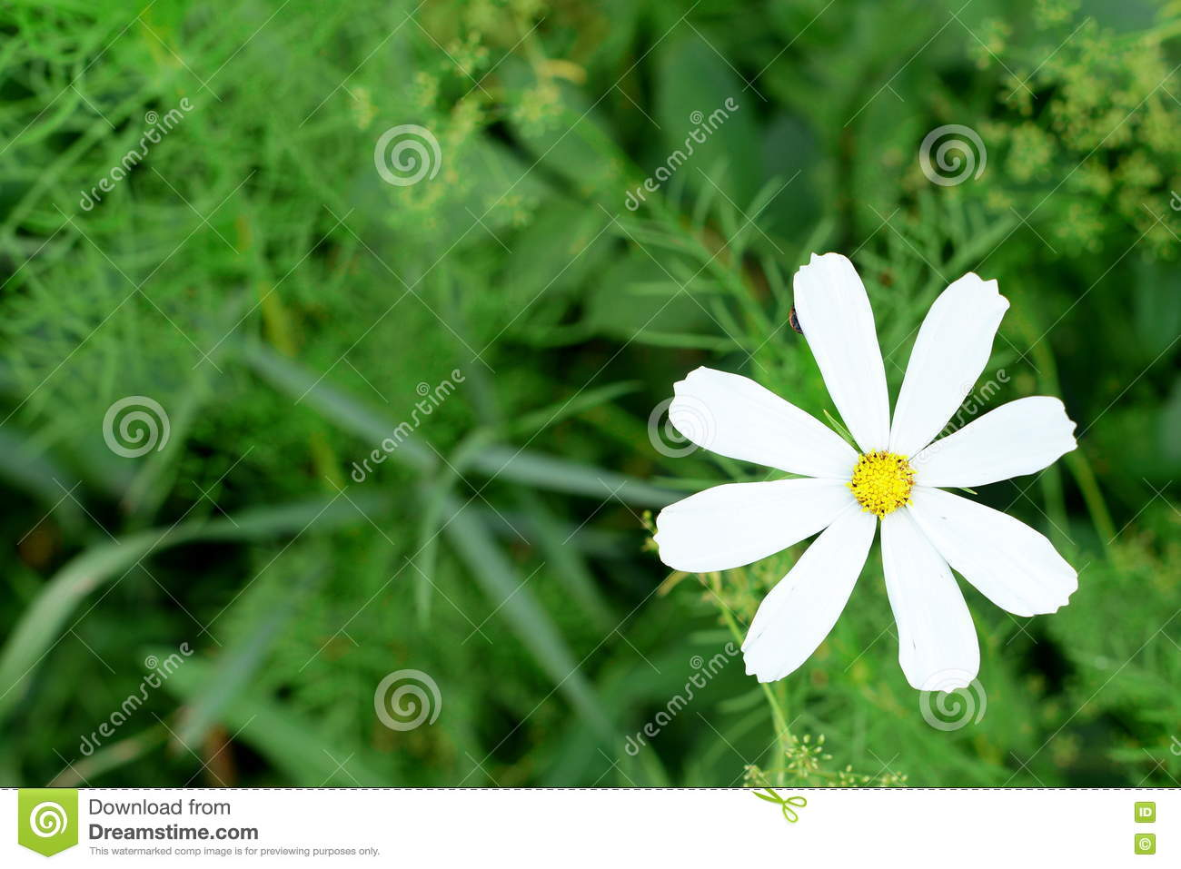 Chamomile Growing Outdoors In The Garden Beautiful White Daisy