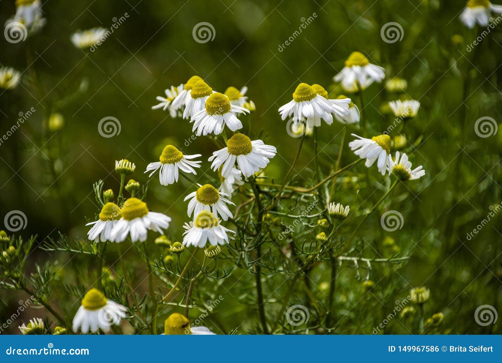 Chamomile kwitnie na łące w lecie, selekcyjna ostrość, plama Piękna natury scena z kwitnąć medyczne stokrotki na słonecznym dniu