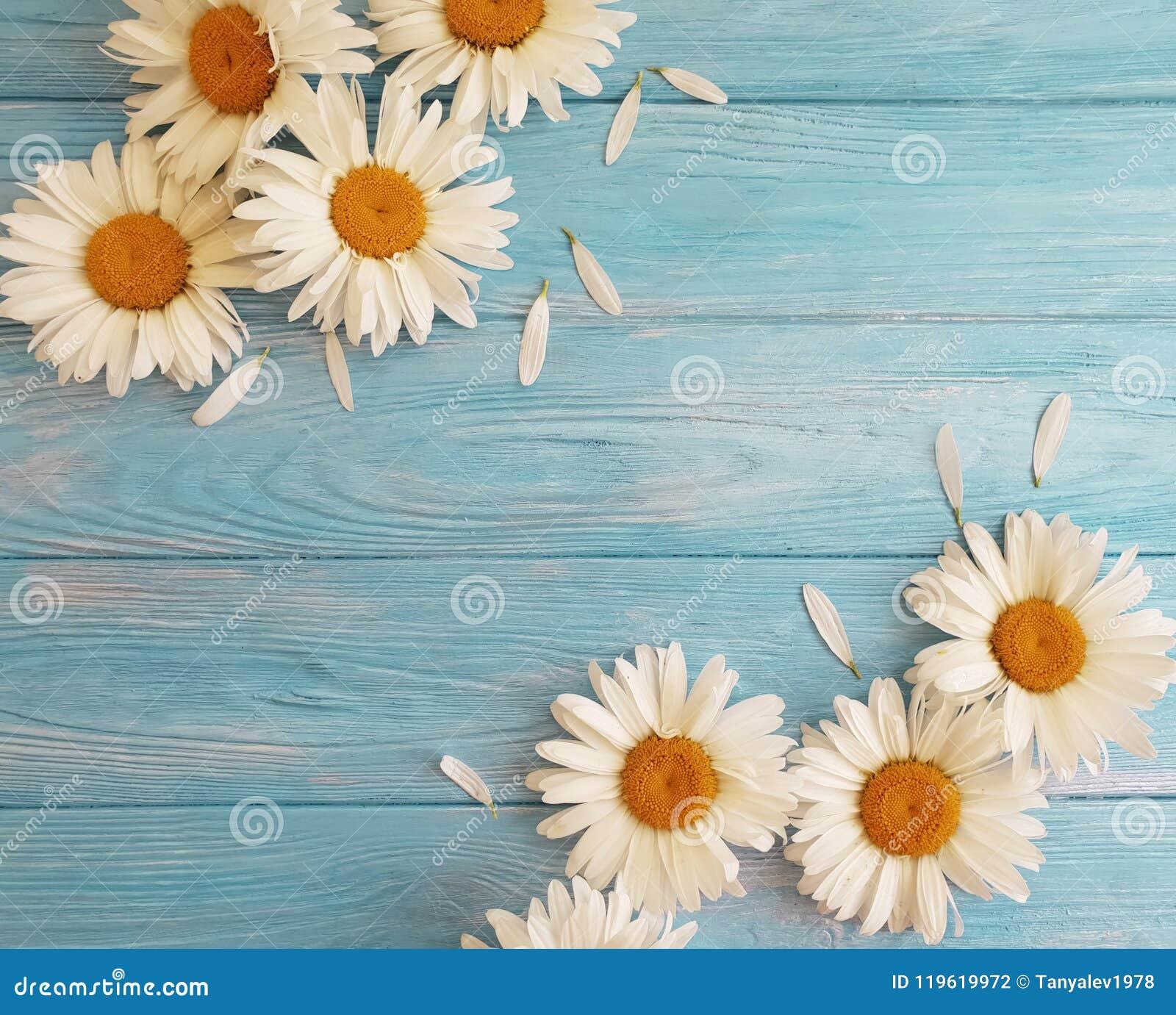 Chamomile natural on a blue wooden floral design birthday vintage festive greeting bloom