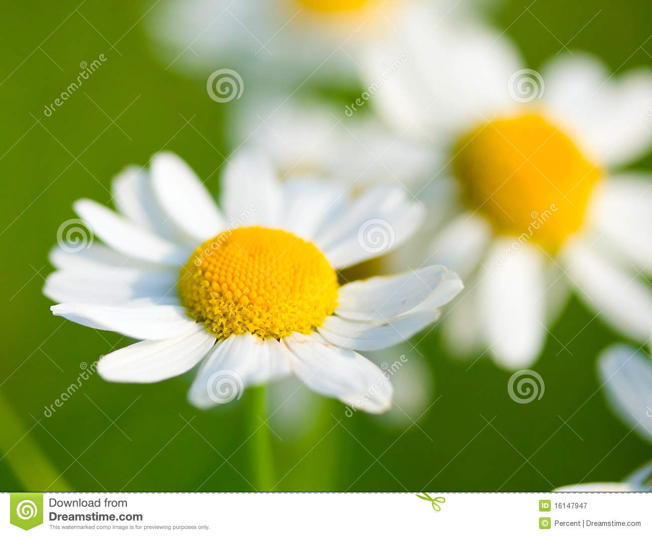 chamomile selective focus stock image image of point