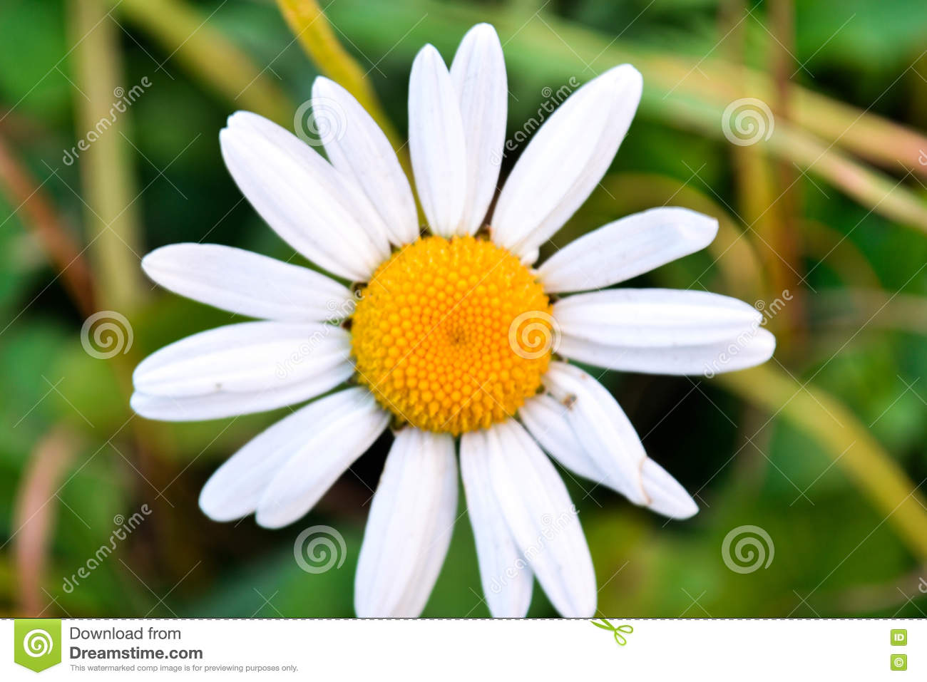 Chamomile White Flowers Stock Photo Image Of Food Pears