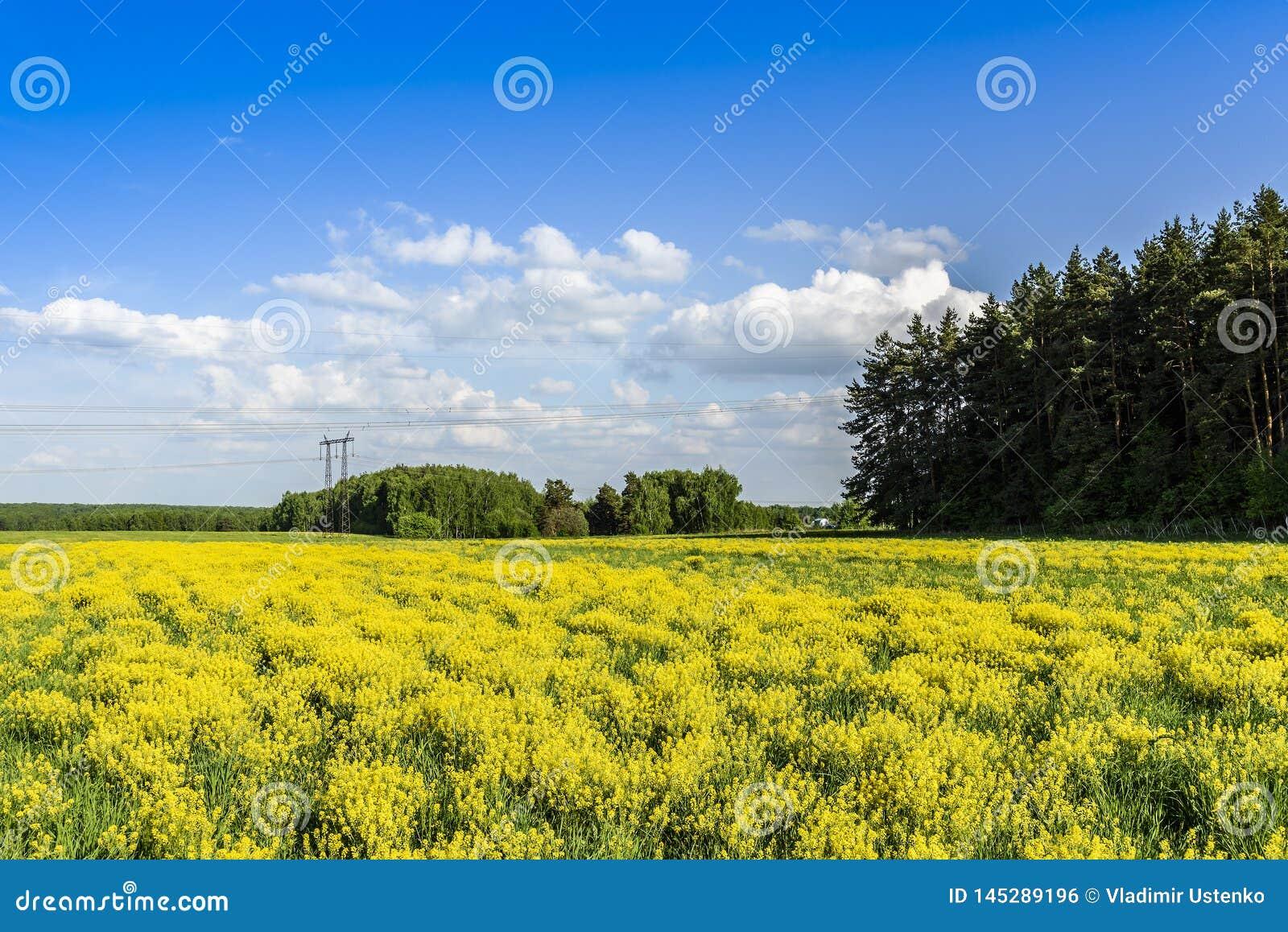 Champ avec de la jeunes moutarde, for?t et ligne ?lectrique une journ?e de printemps ensoleill?e R?gion de Moscou, Russie