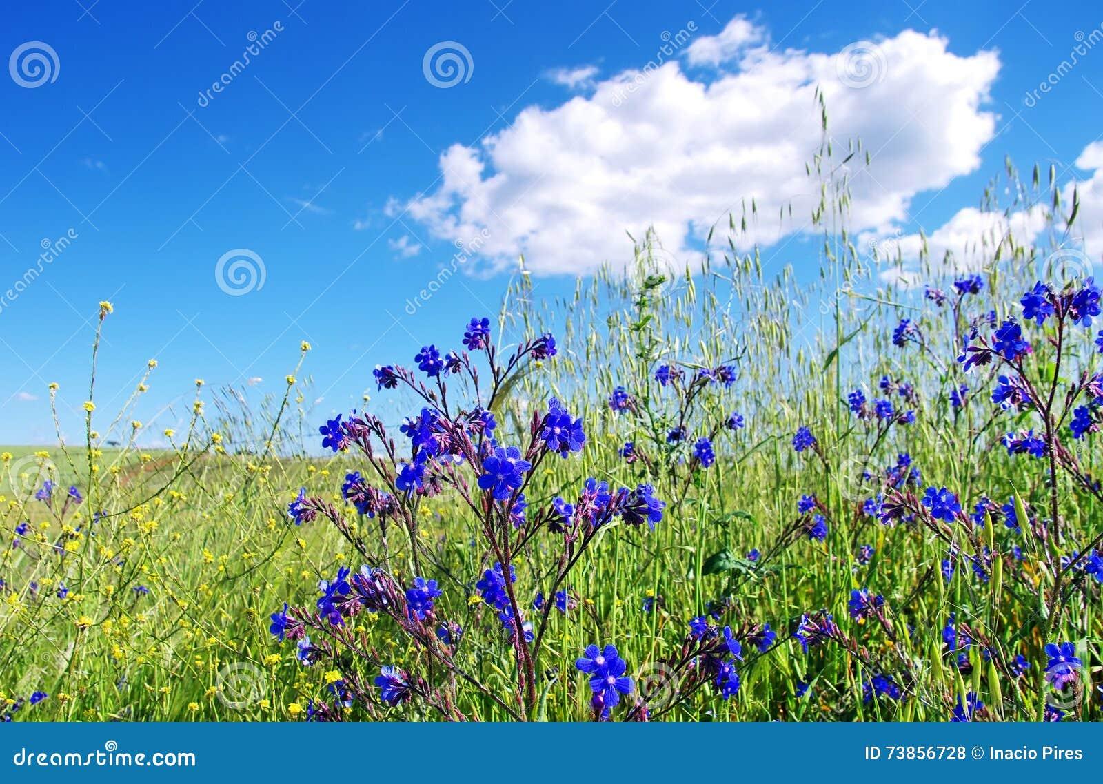 Champ avec les fleurs bleues sauvages