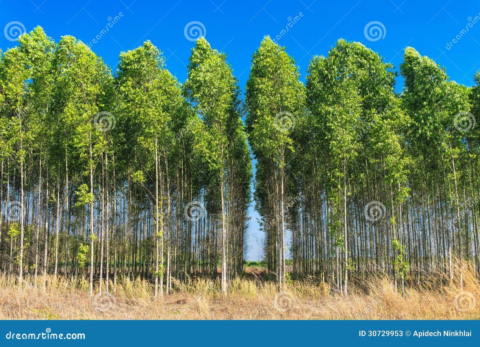 champ d 39 arbre d 39 eucalyptus image stock image du vert 30729953. Black Bedroom Furniture Sets. Home Design Ideas