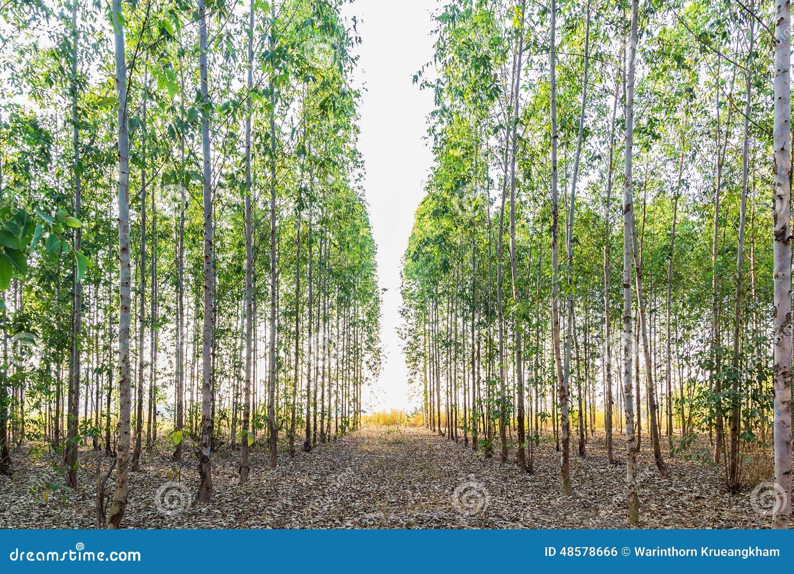 champ d 39 arbre d 39 eucalyptus photo stock image du ext rieur 48578666. Black Bedroom Furniture Sets. Home Design Ideas