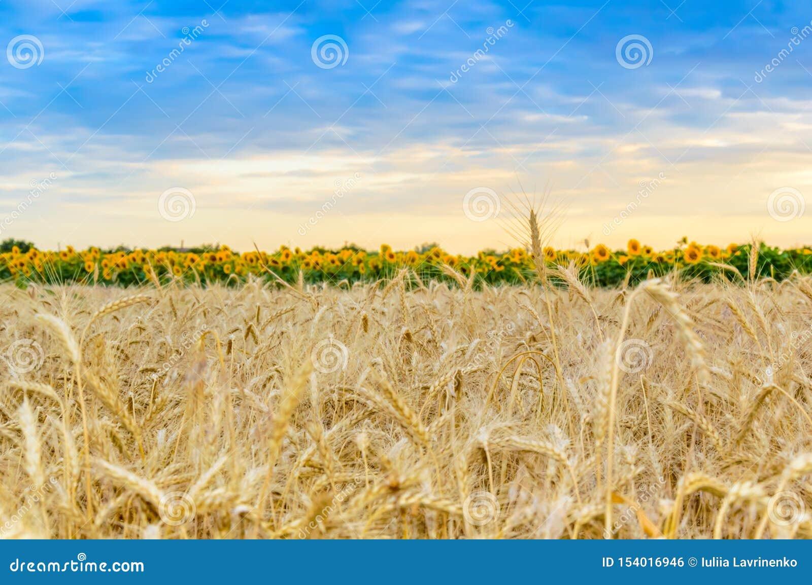 Champ de blé avec les noyaux mûrs au coucher du soleil Paysage rural d ?t? Concept de r?colte riche