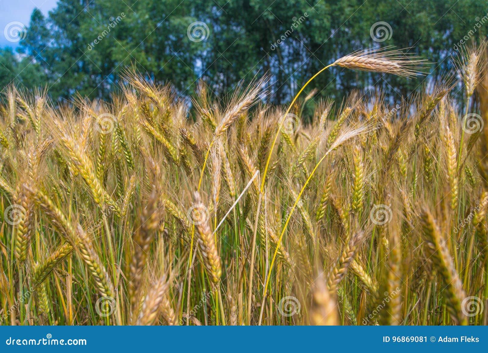 Champ de blé d or grandissant sous le ciel bleu