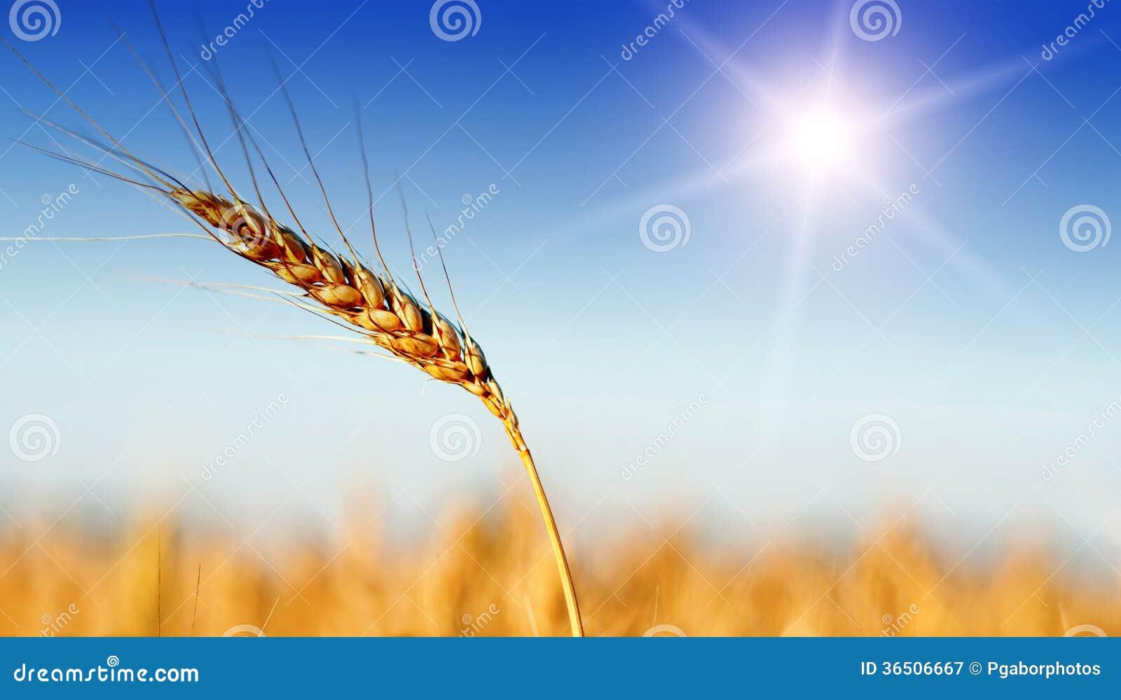 Champ de blé dans l heure d été