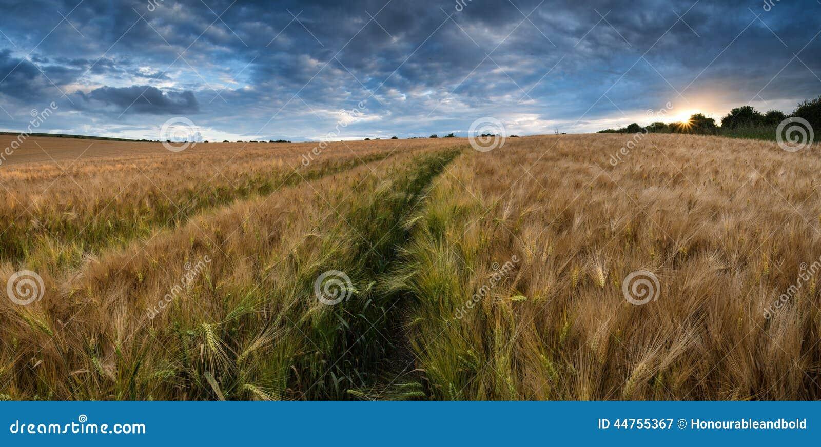 Champ de blé renversant de paysage de campagne dans le coucher du soleil d été