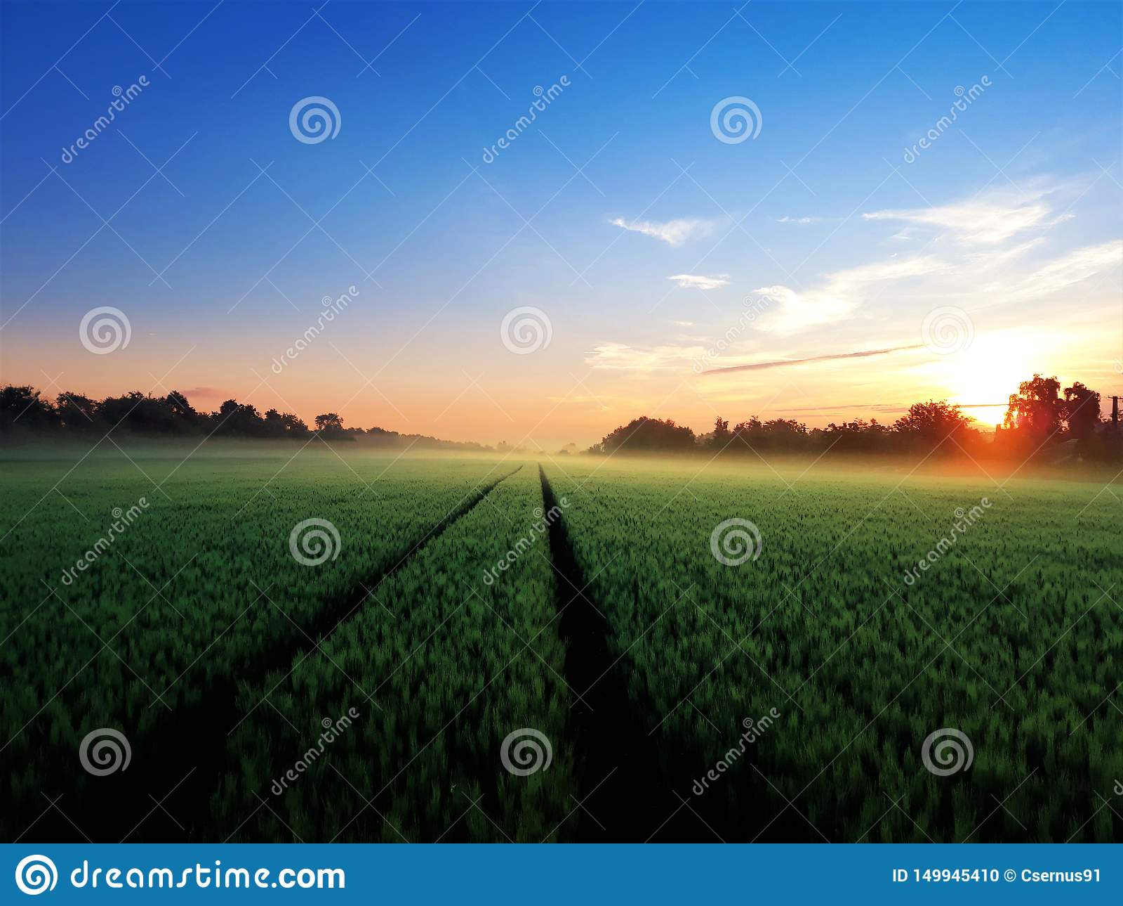 Champ de bl? vert pendant le matin