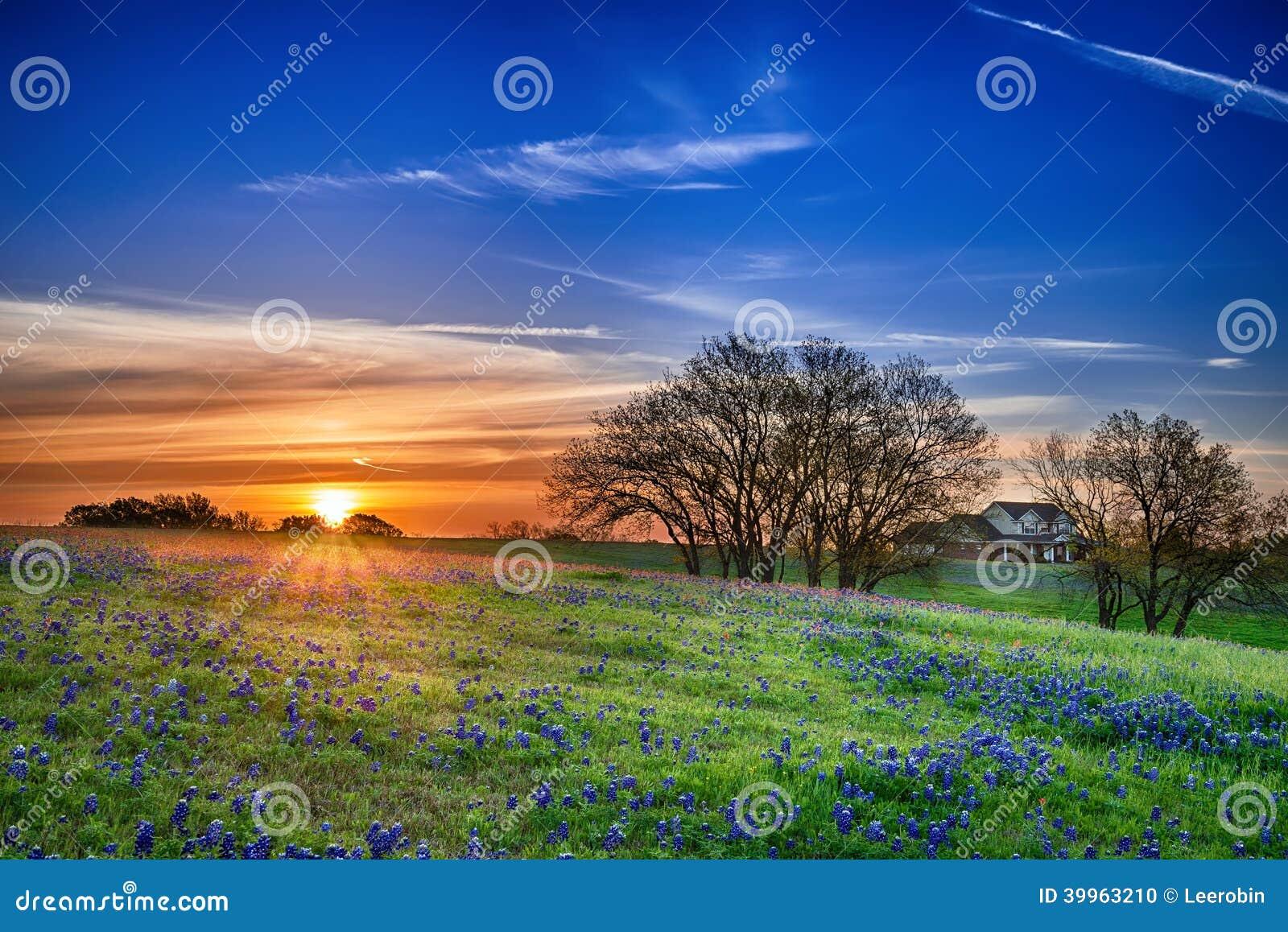Champ de bluebonnet de Texas au lever de soleil