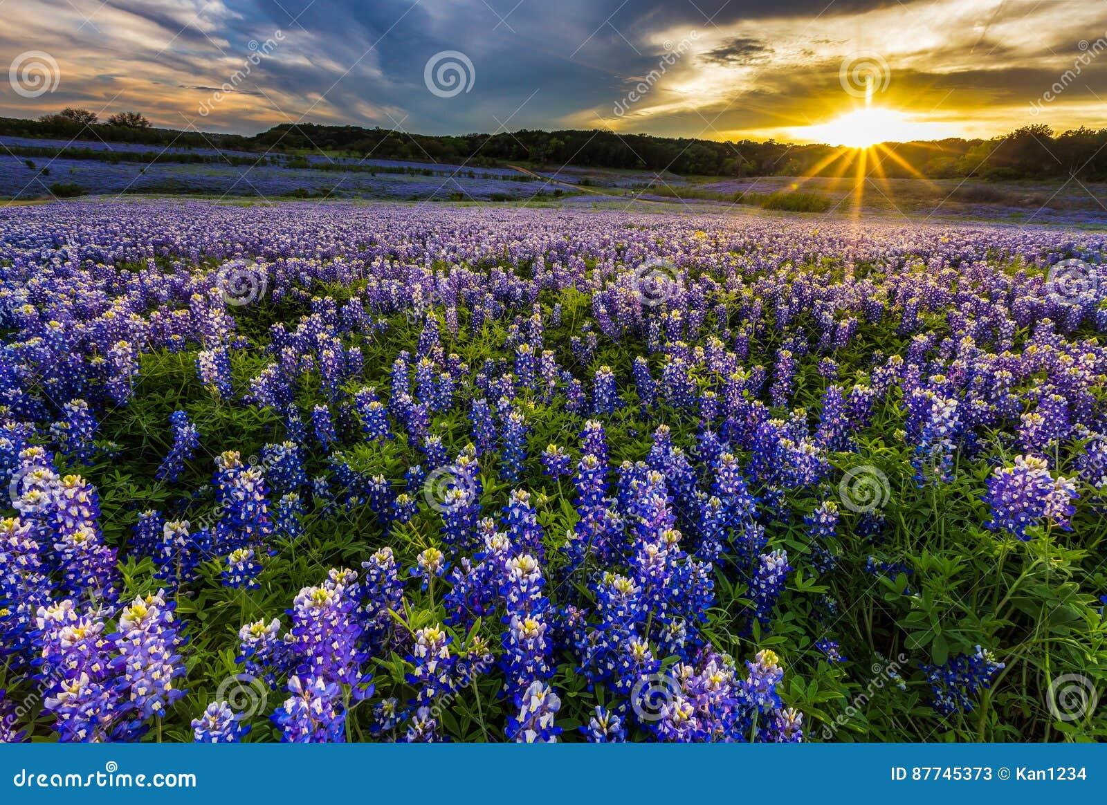 Champ de bluebonnet de Texas dans le coucher du soleil à l aire de loisirs de courbure de Muleshoe