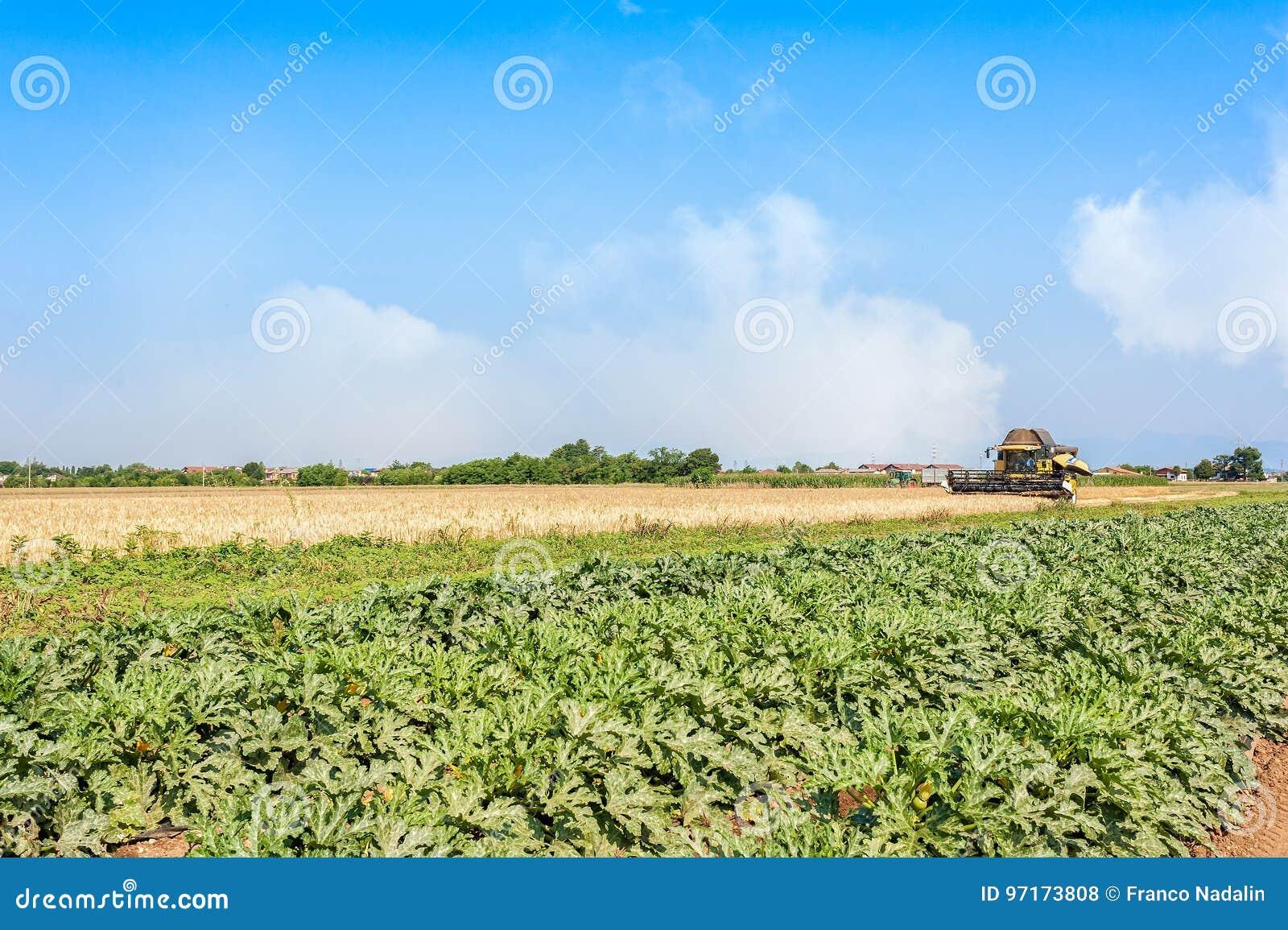 Champ de champ de courgette et de blé avec la batteuse au travail