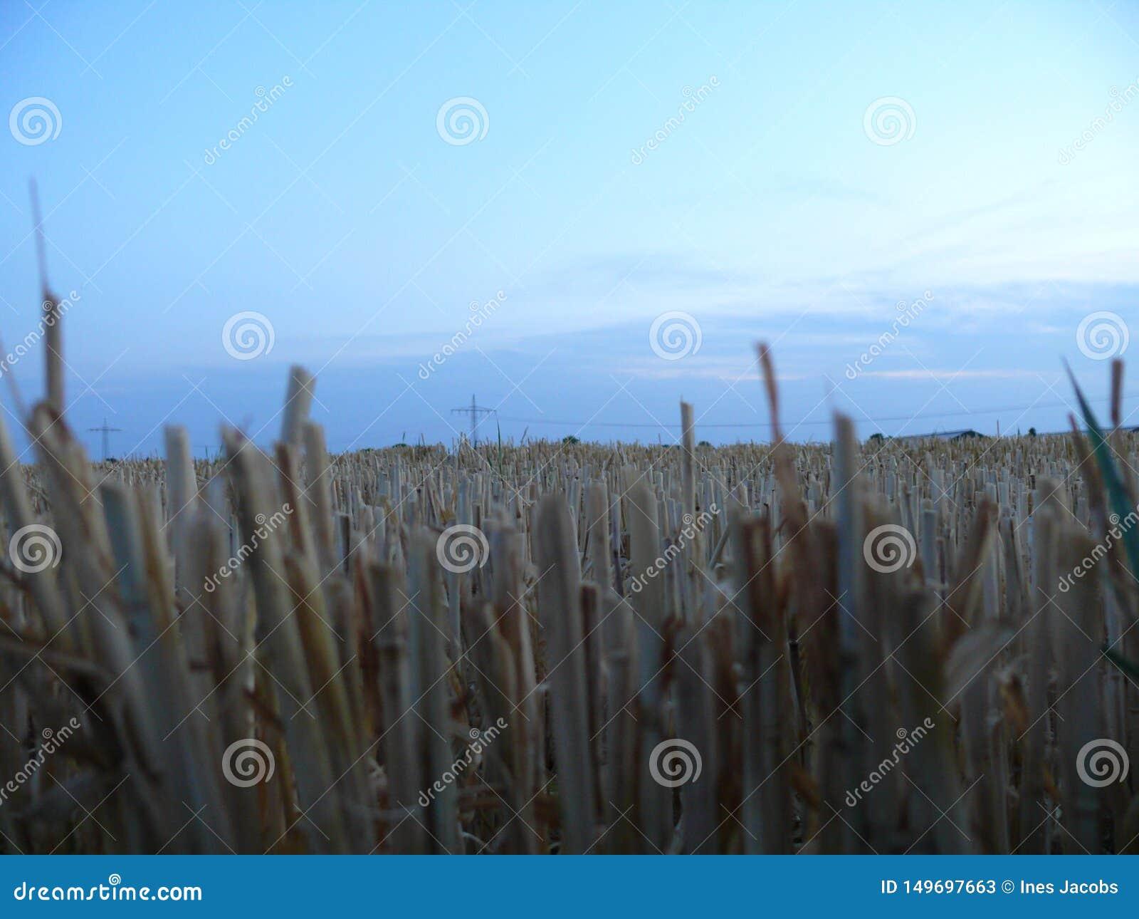 Champ de grain coupé le soir
