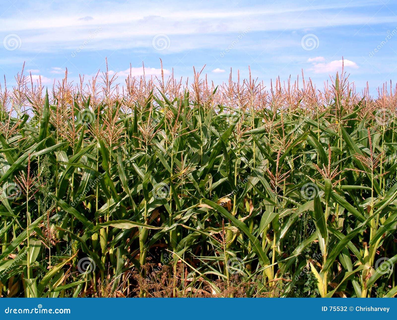 Champ de maïs 2