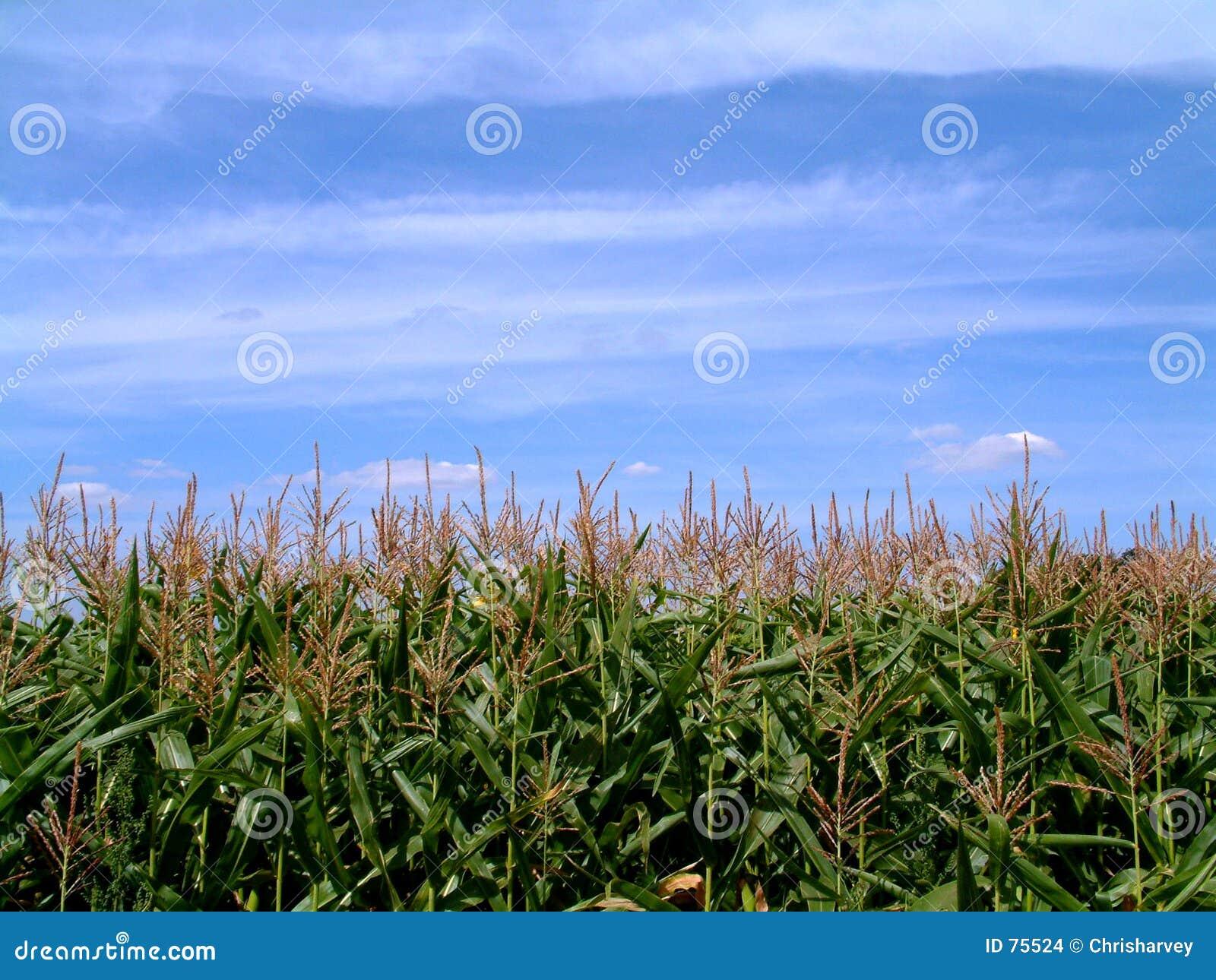 Champ de maïs