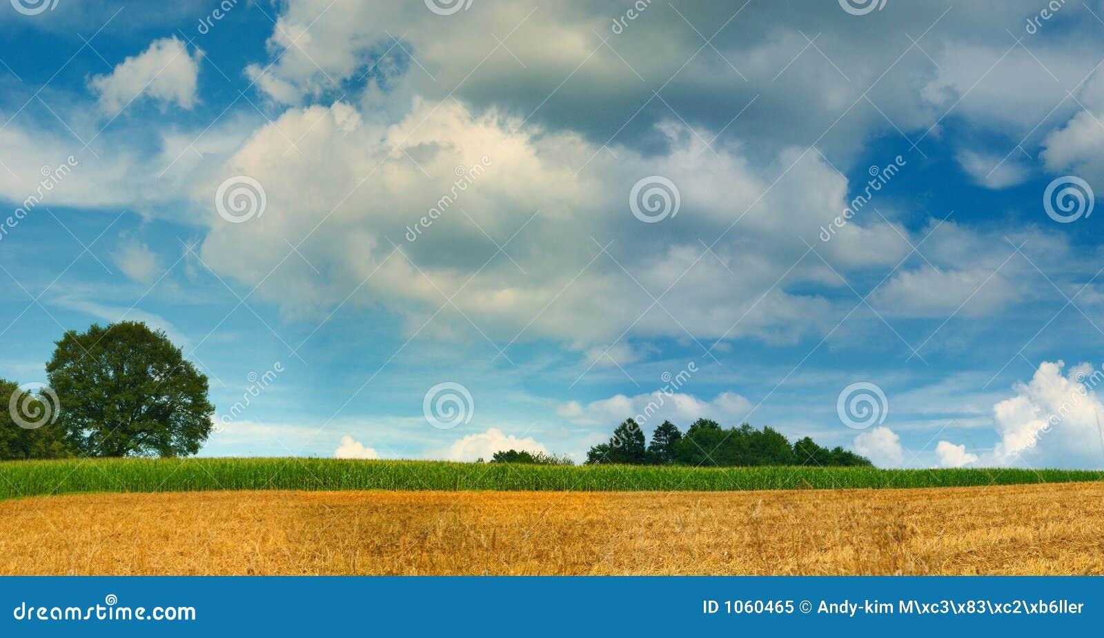 Champ de maïs et panorama d arbre