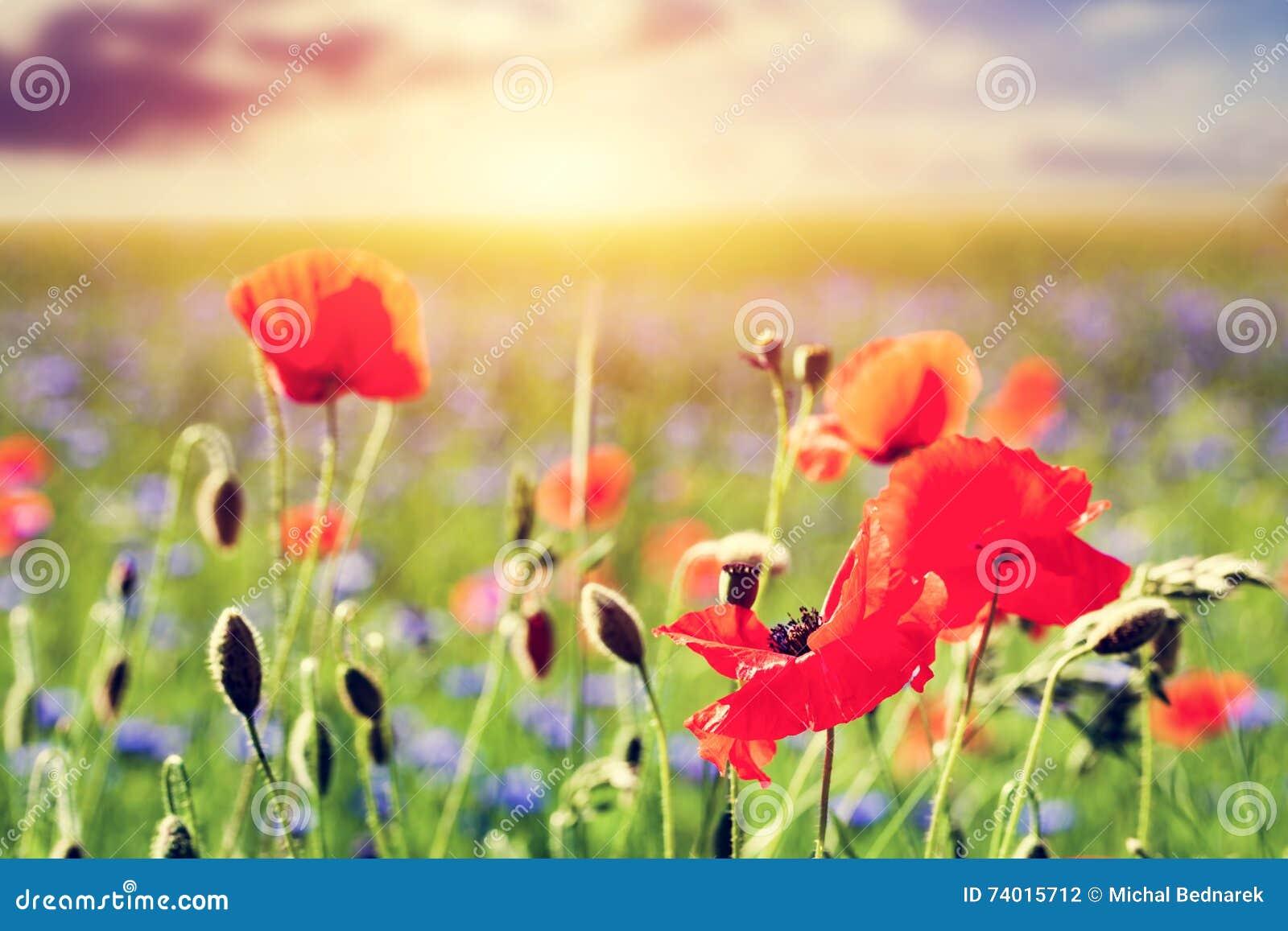 Champ de pavot fleurs de pavots en gros plan paysage d for Piani di progettazione domestica con foto