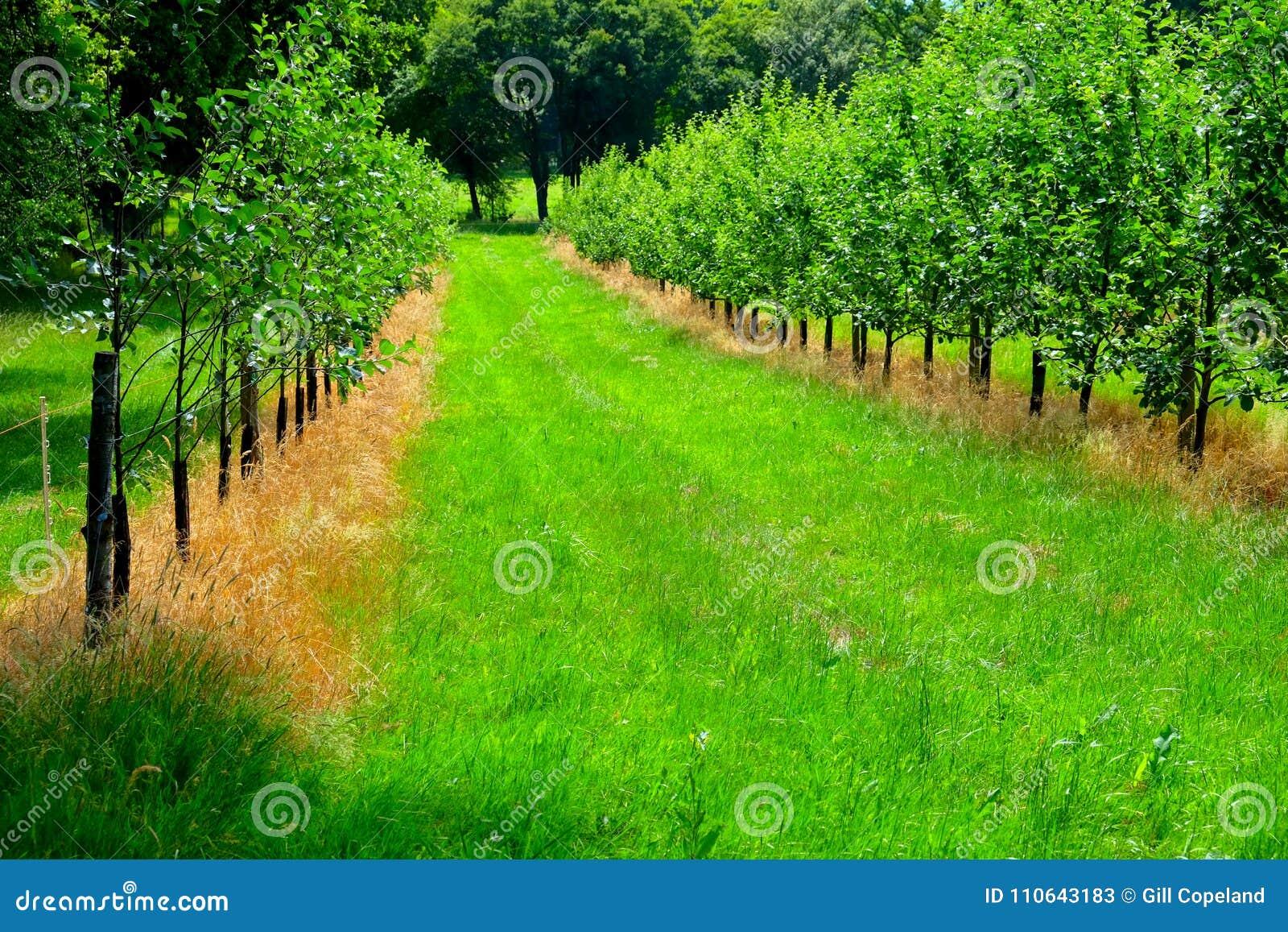 Champ de pommiers, deux lignes de jeunes pommiers avec l herbe verte