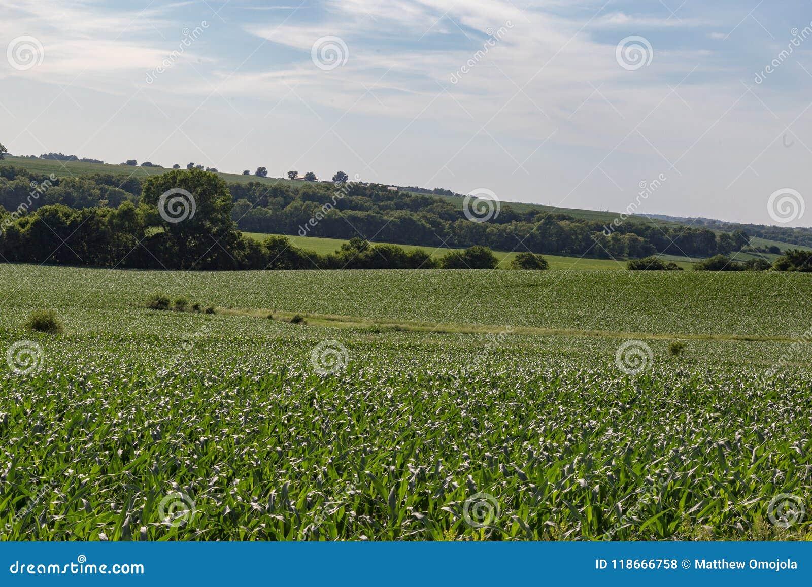 Champ de roulement de jeune champ de maïs quelque part en Omaha Nebraska