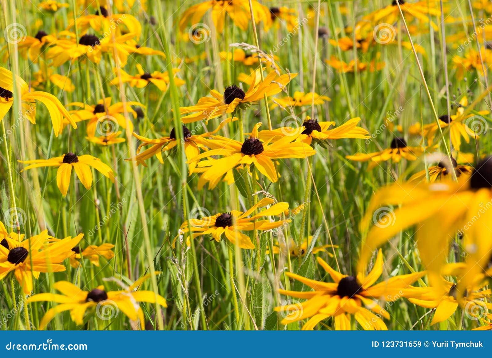 Champ de Rudbeckia jaune Susan Flower observée par noir