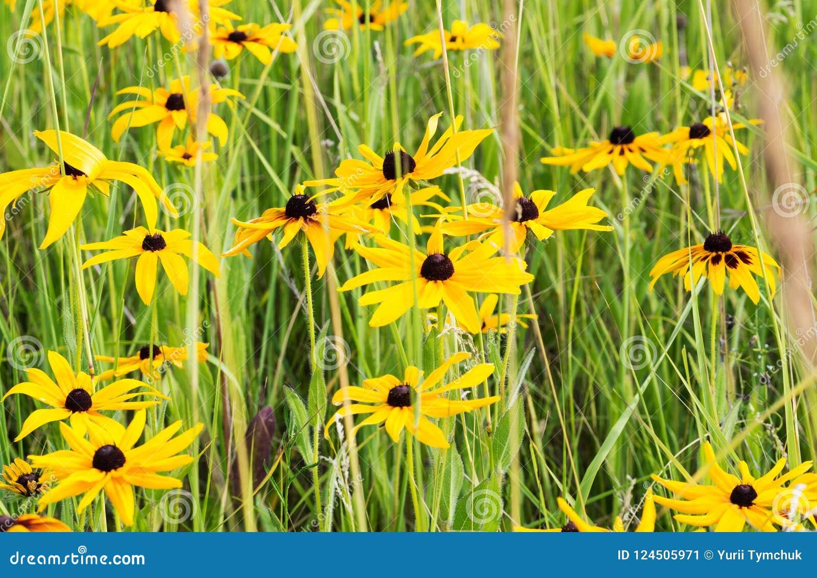 Champ de Rudbeckia jaune (Susan Flower observée par noir)