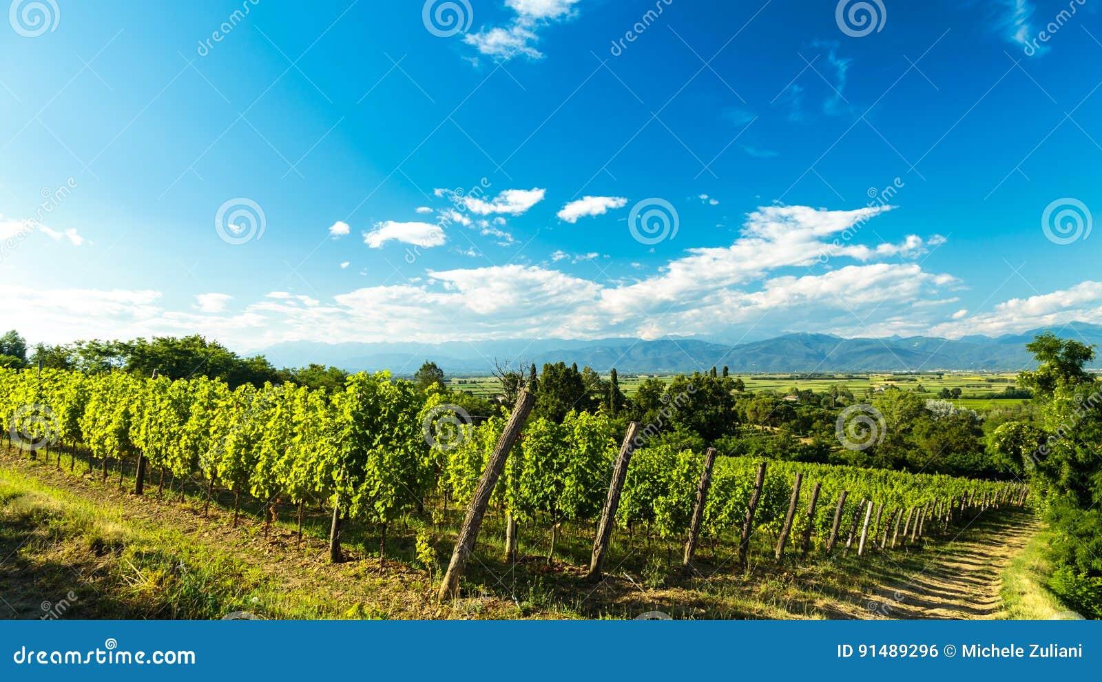 Champ De Vigne champ de vigne dans la campagne italienne photo stock - image du